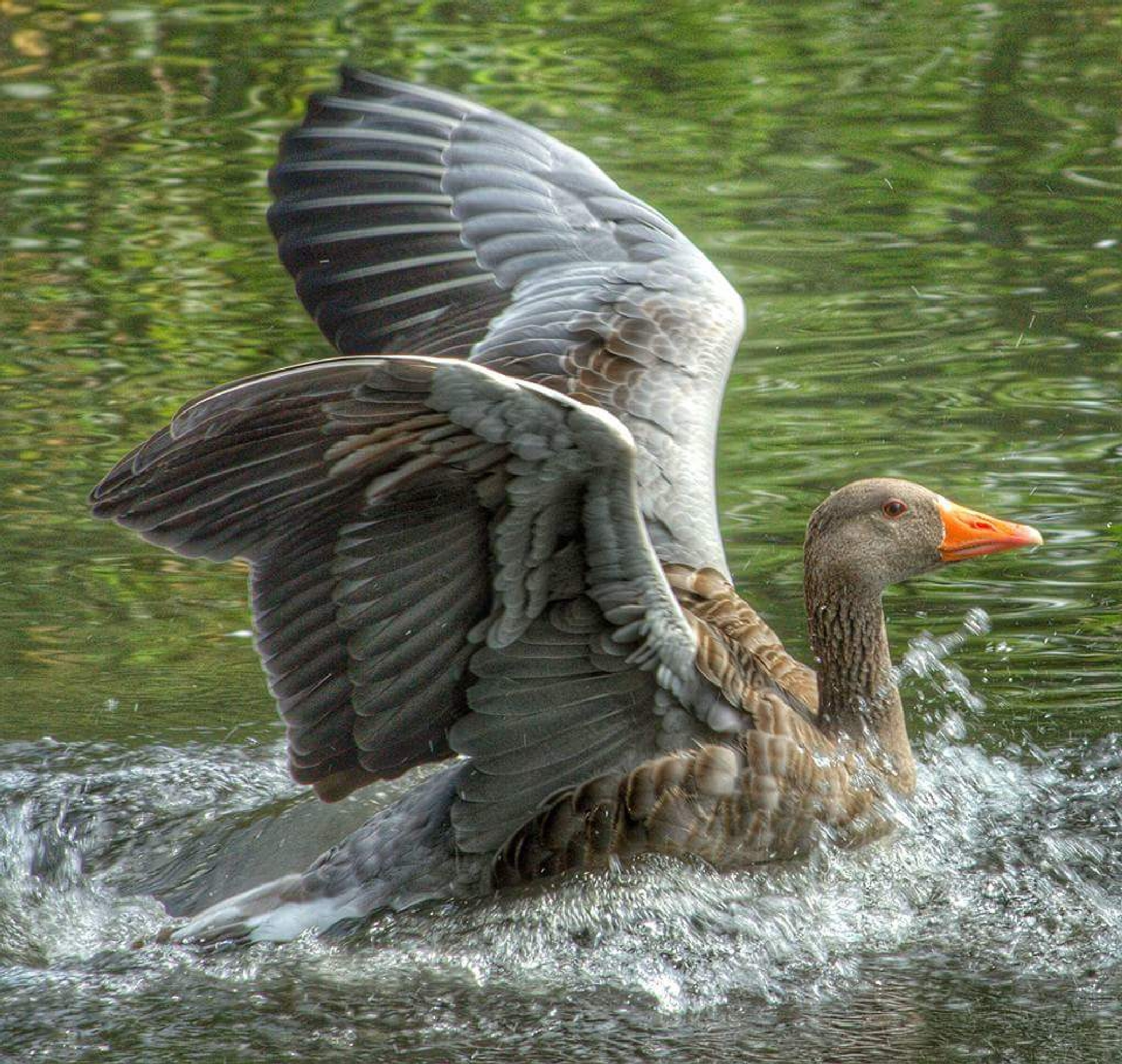 goose landing by spike20195