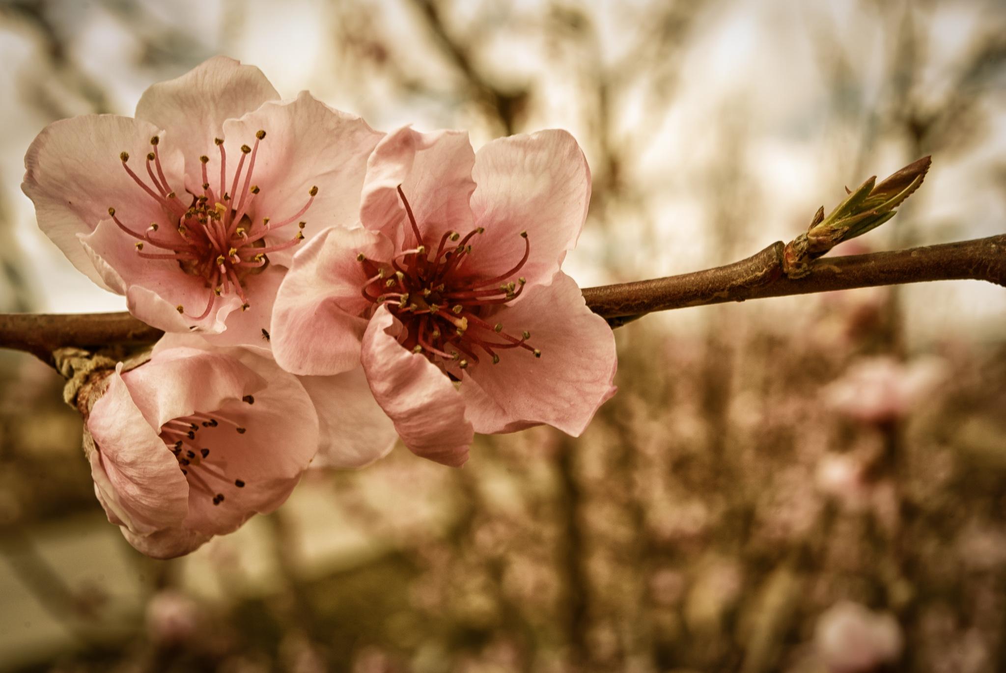 Flores de melocotonero. Caravaca de la Cruz. by MiguelOnPhotography