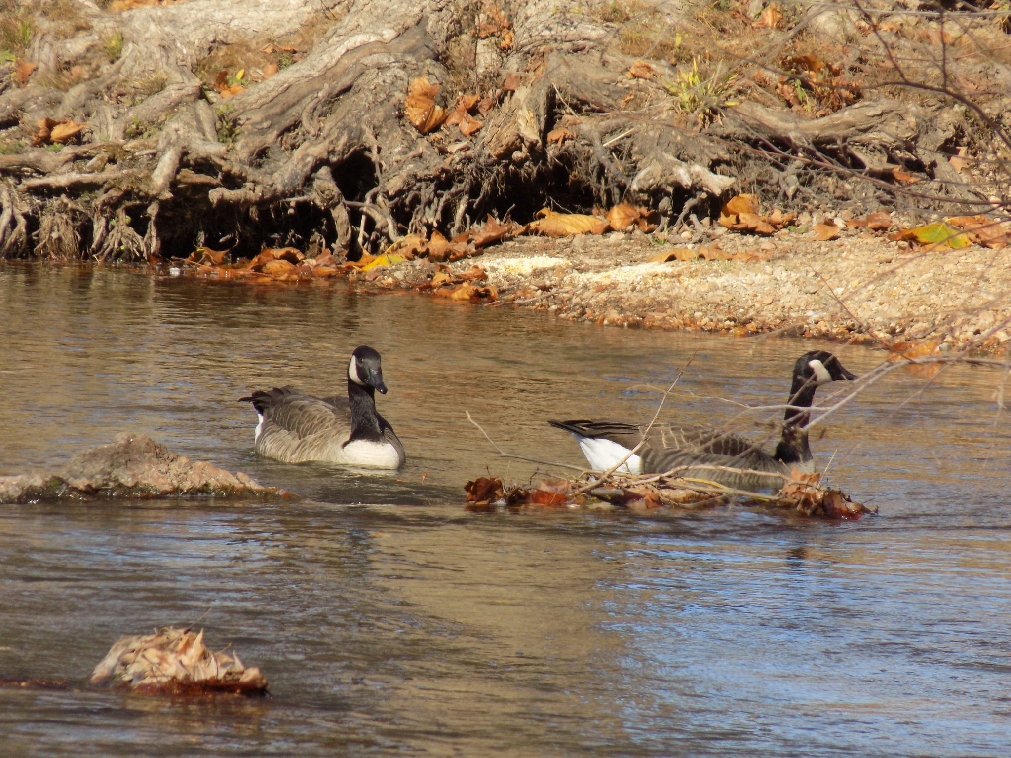 Geese on the river... by Brenda Aholt