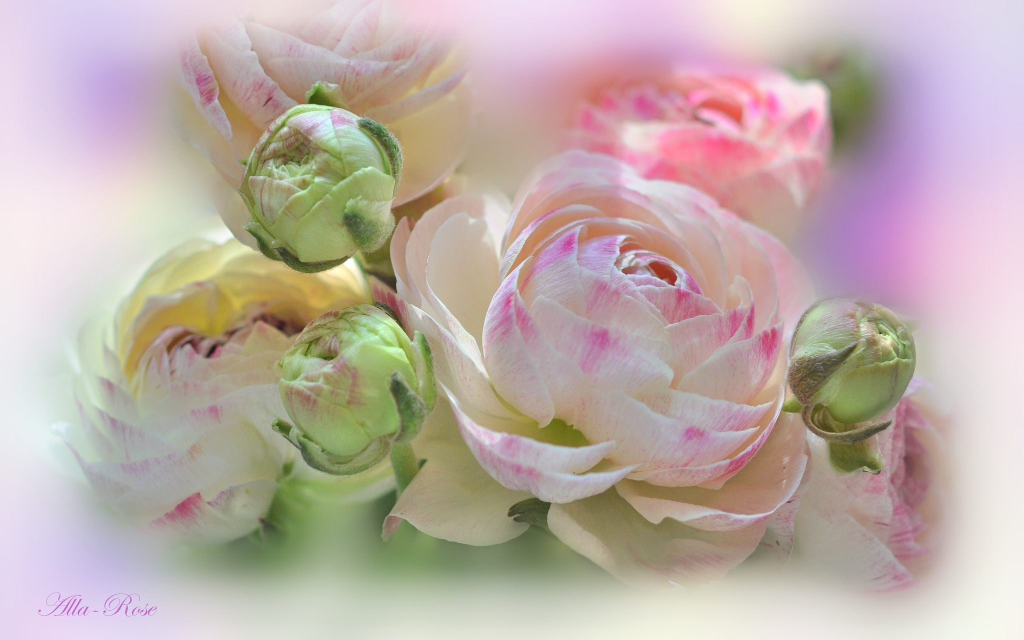 Ranunculus by Alla-Rose