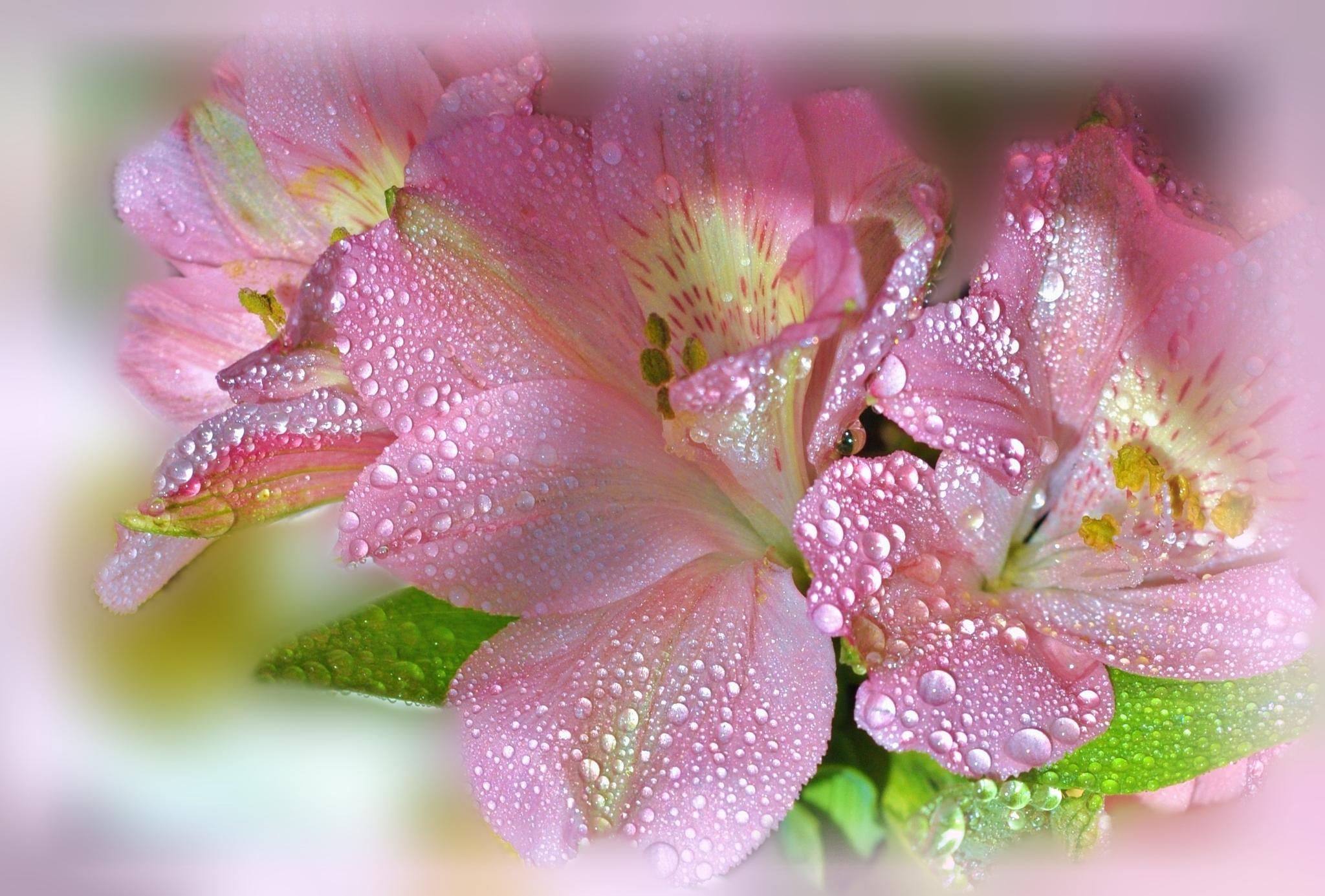 Alstroemeria in dew by Alla-Rose