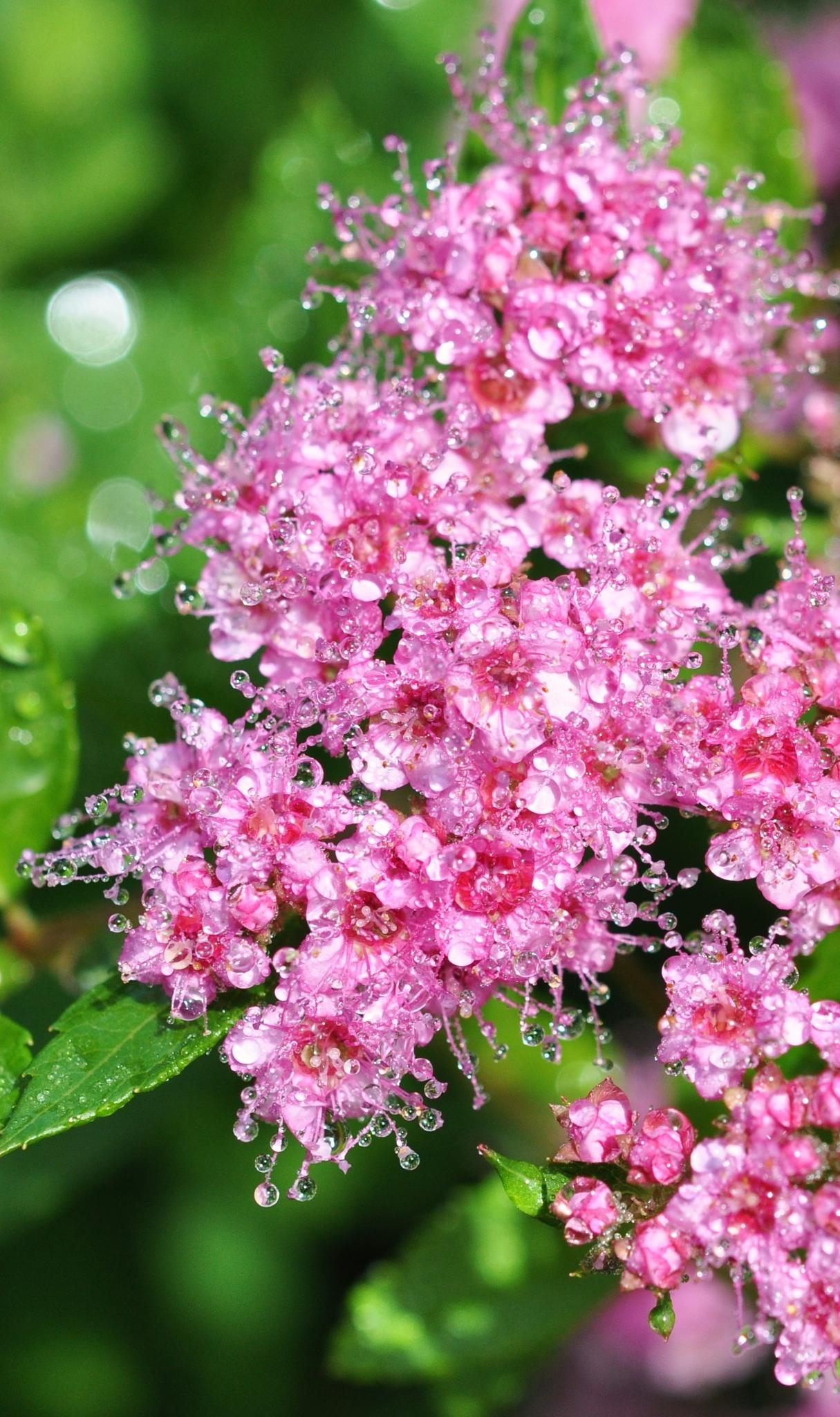 spirea after the rain by Alla-Rose