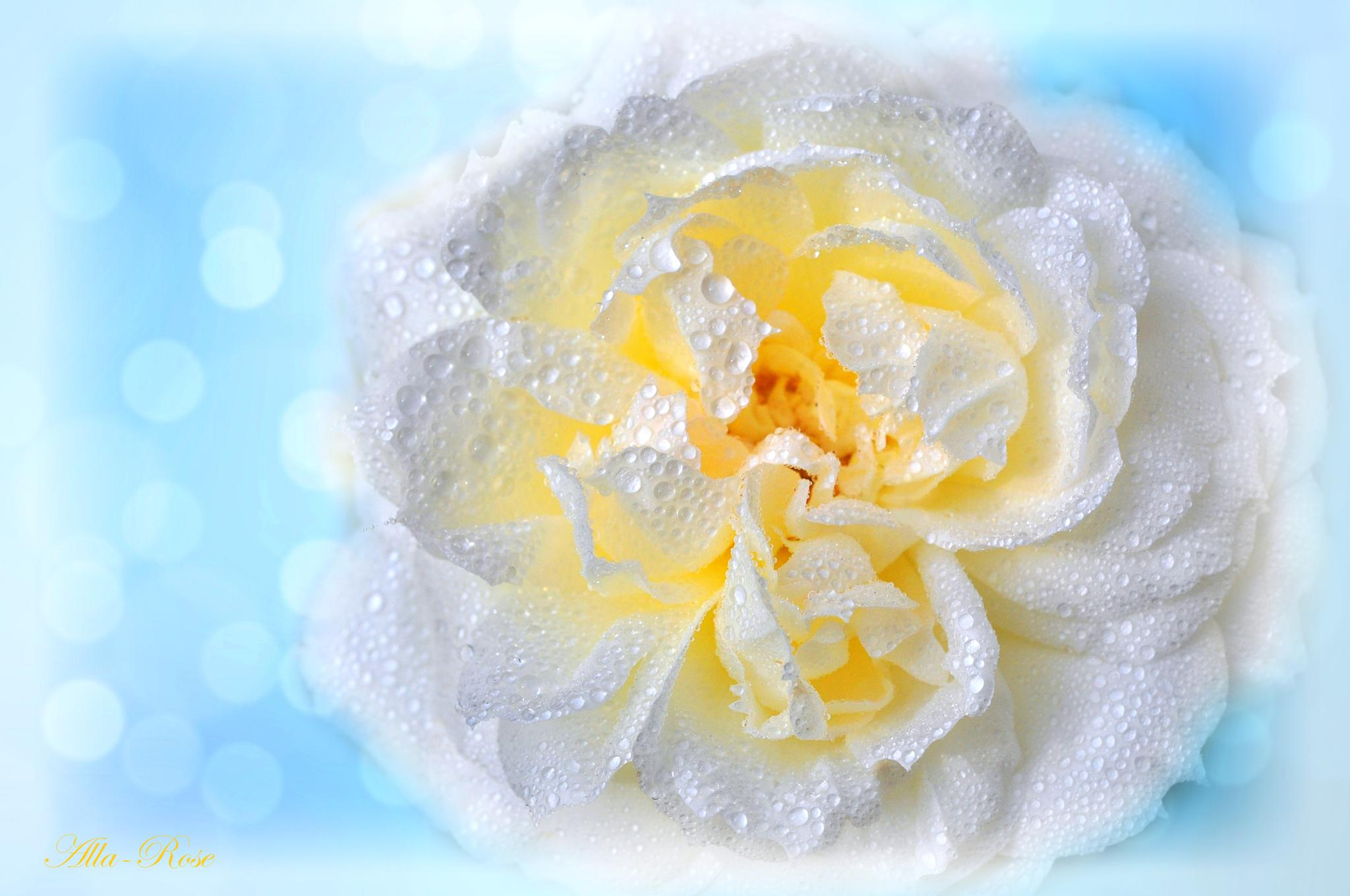 The fragrance of the white rose by Alla-Rose