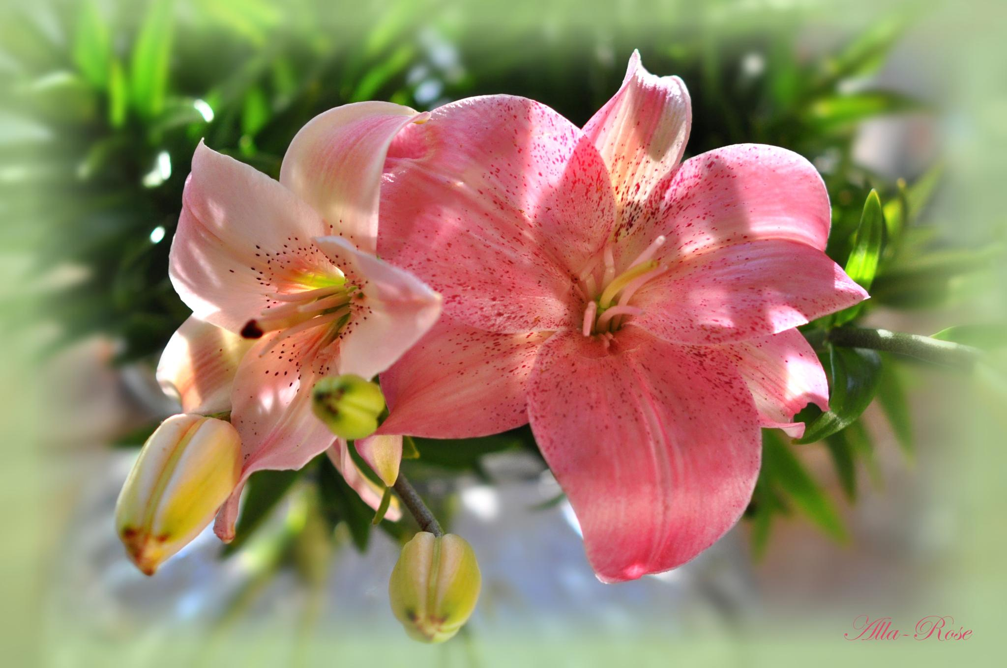 lilies with buds by Alla-Rose