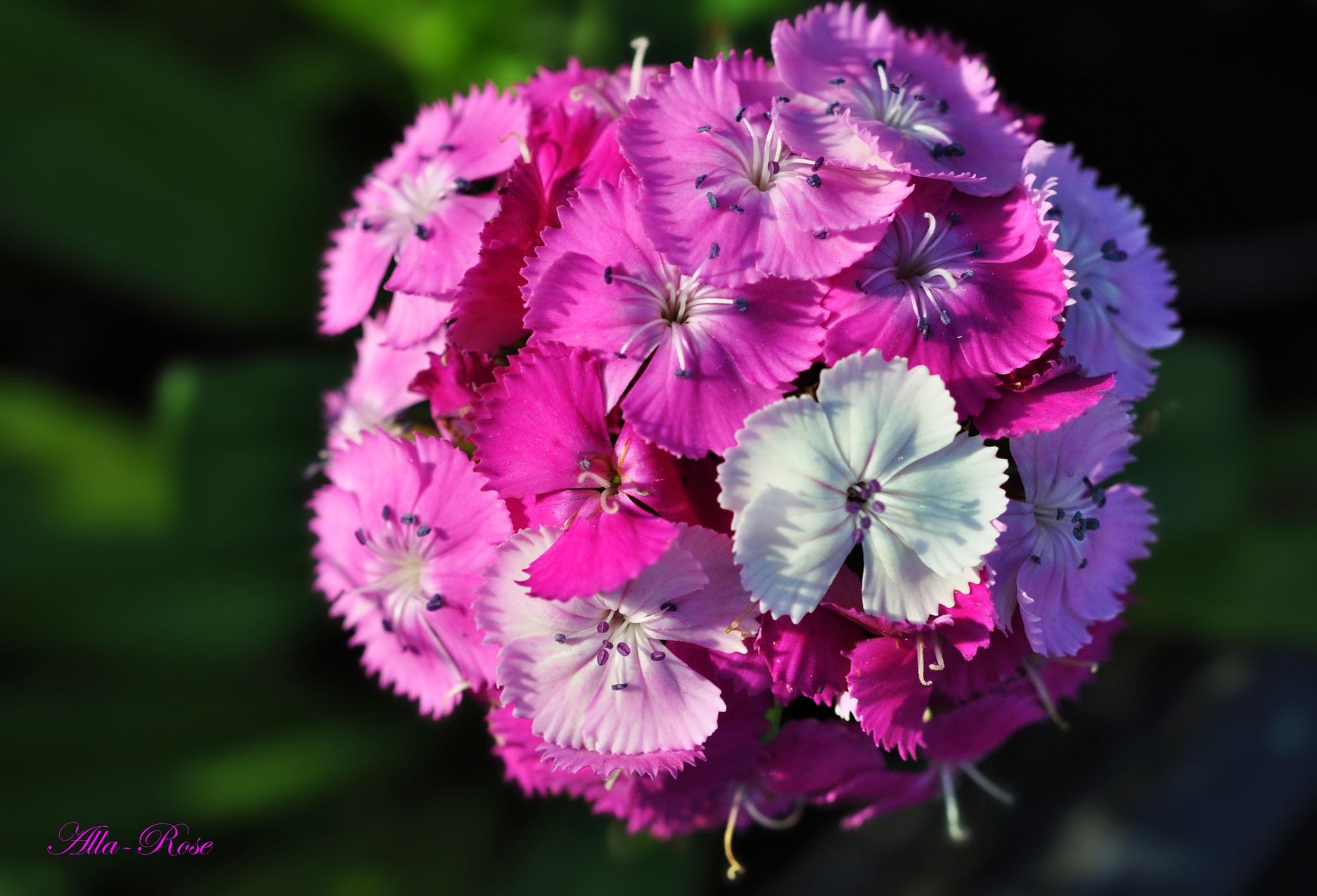 Turkish carnation 2 by Alla-Rose