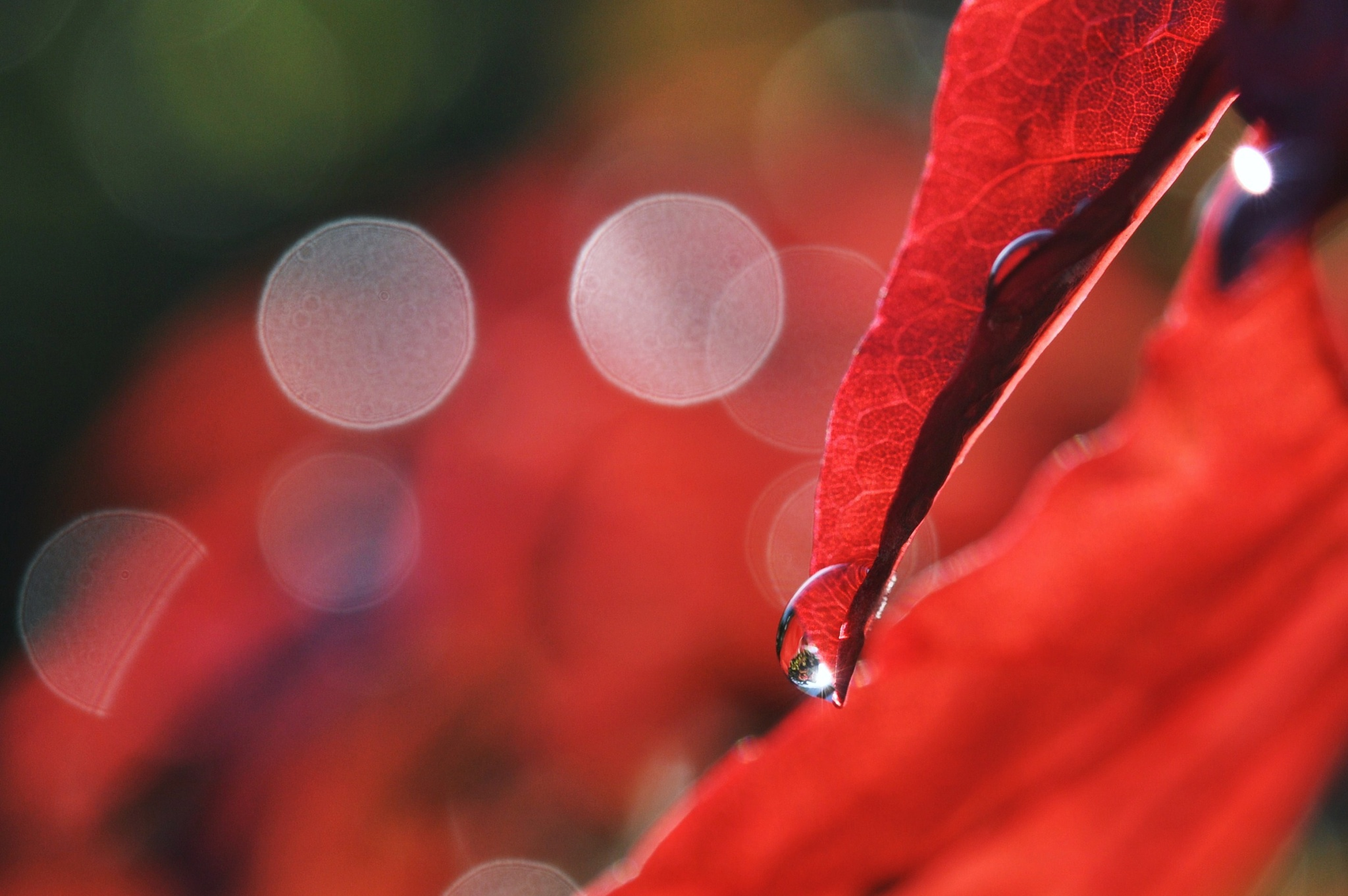 Slips and falls the dew on the ground from a scarlet leaf... by Alla-Rose
