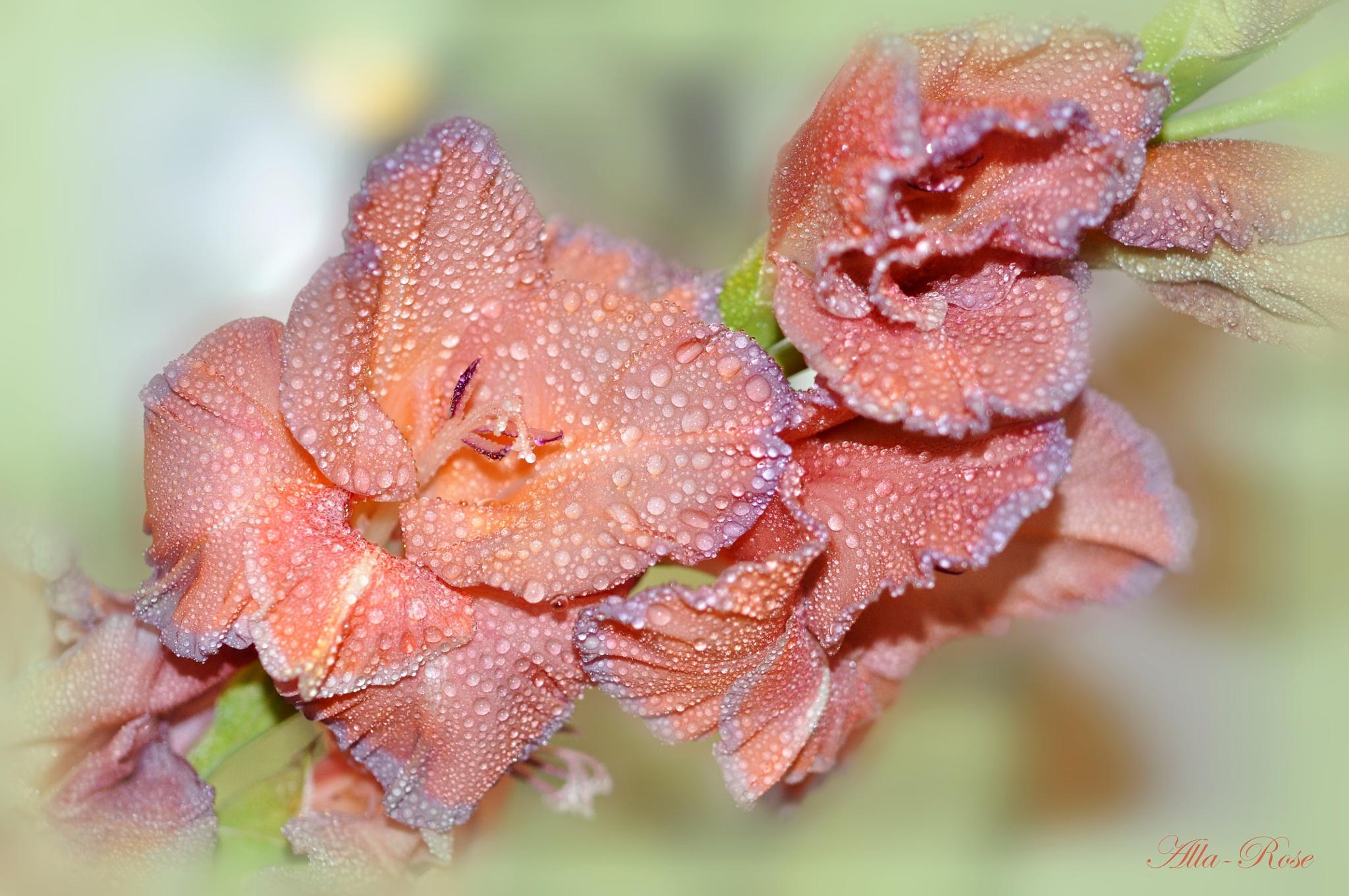 Gladiolus drops by Alla-Rose