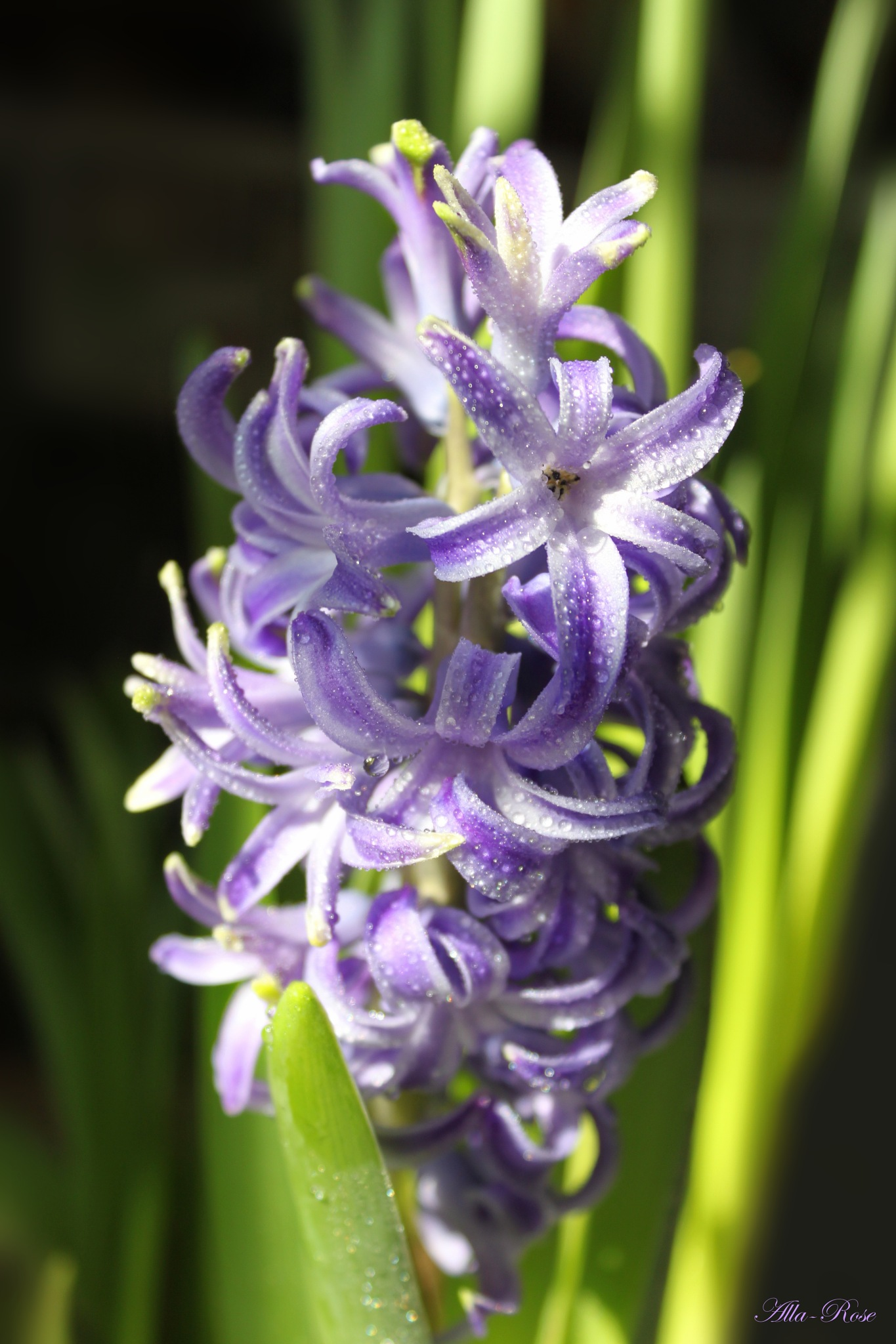 hyacinth by Alla-Rose