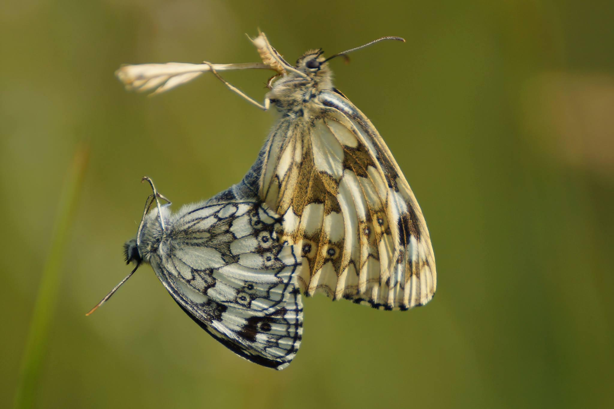 Mating Marbled White butterflies by Mark Askew