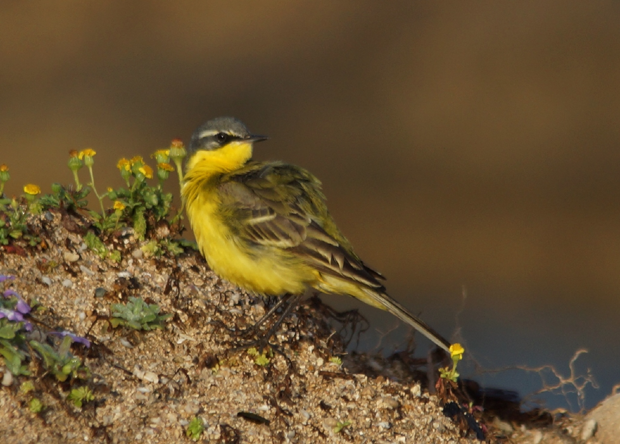 Blue-headed Wagtail by Mark Askew