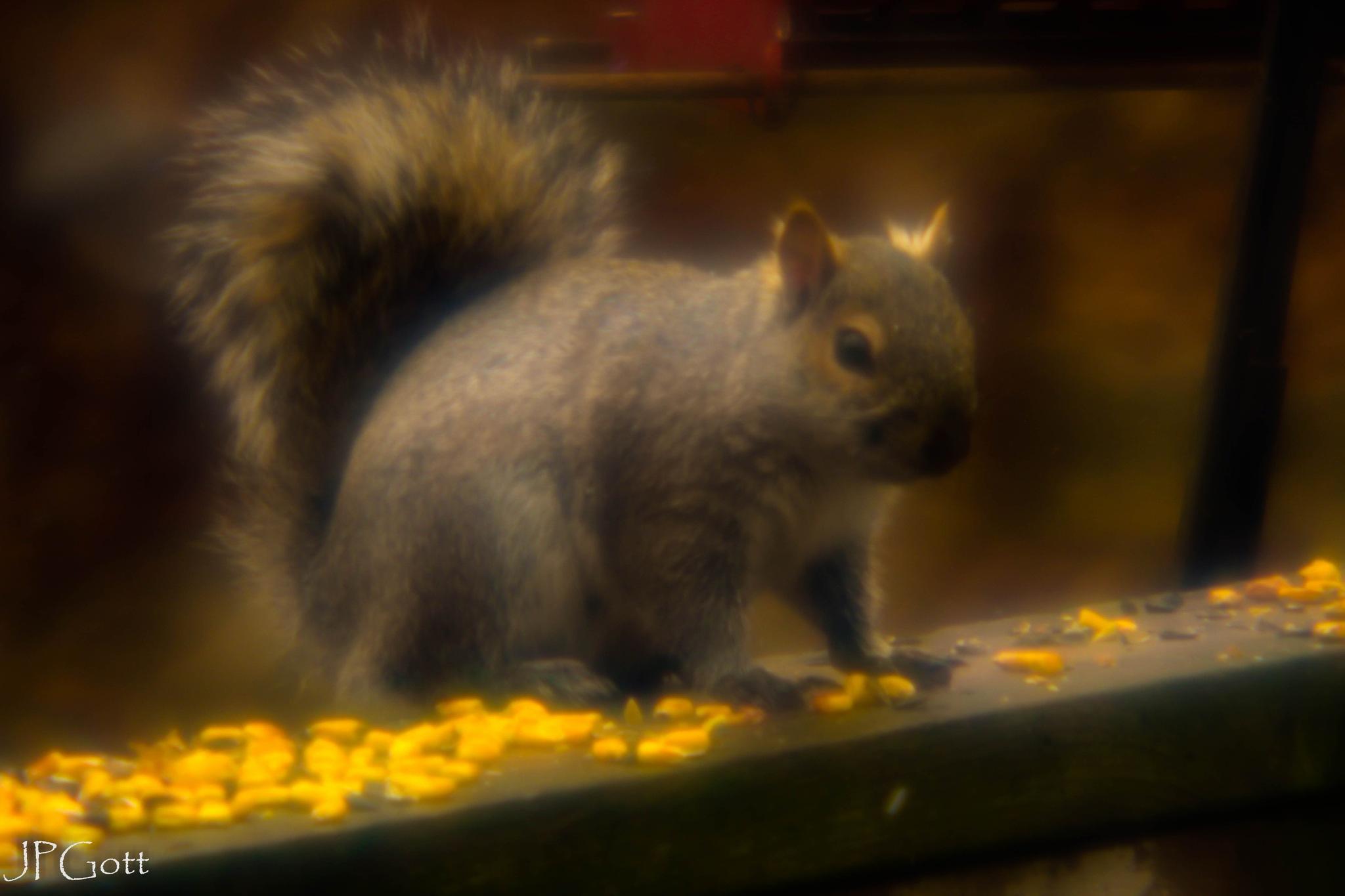 Corn eating Squirrel by JP Gott