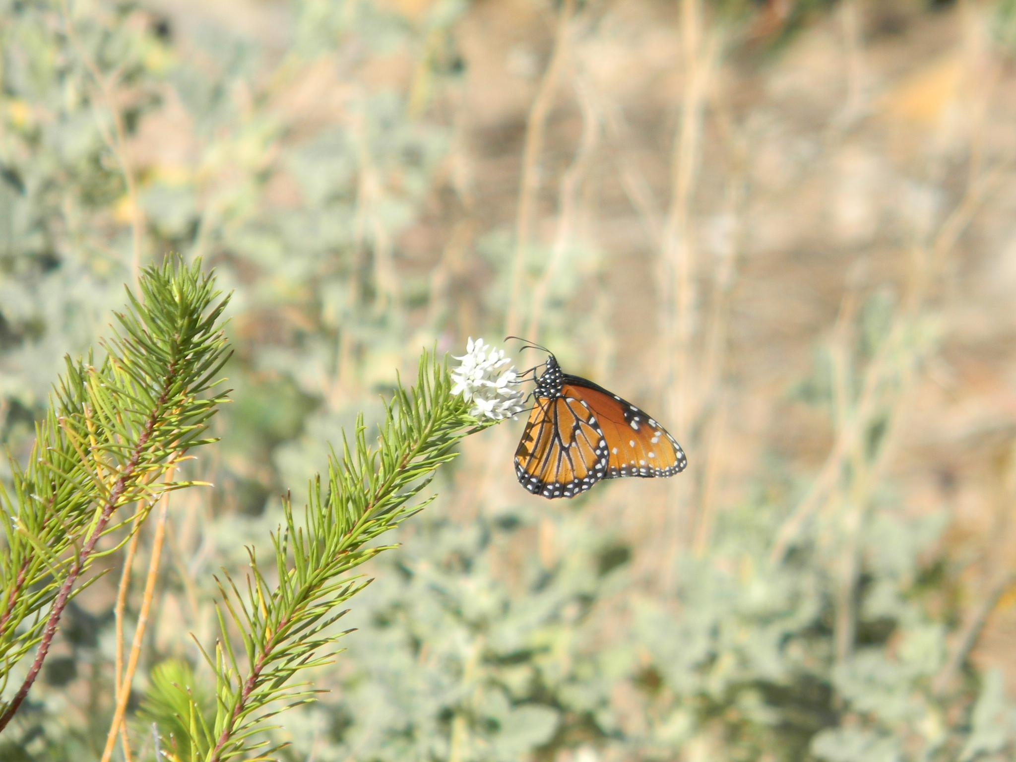 Monarch Butterfly by Anna Marie