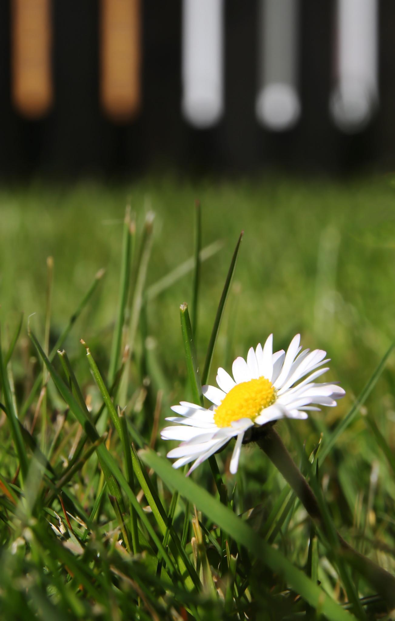 Daisy by KasiaM