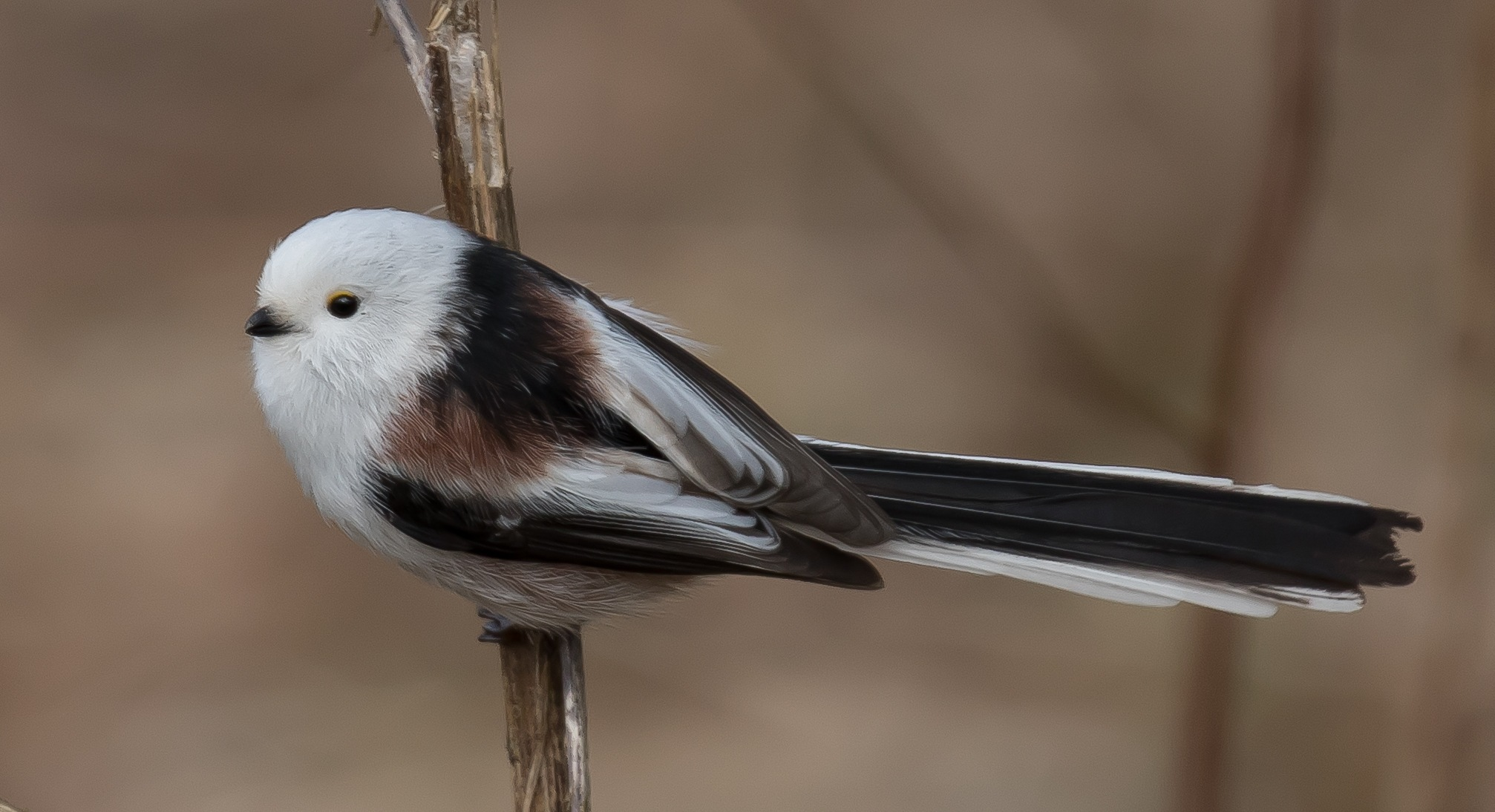 Long-tailed Tit. by Kjell Södervall