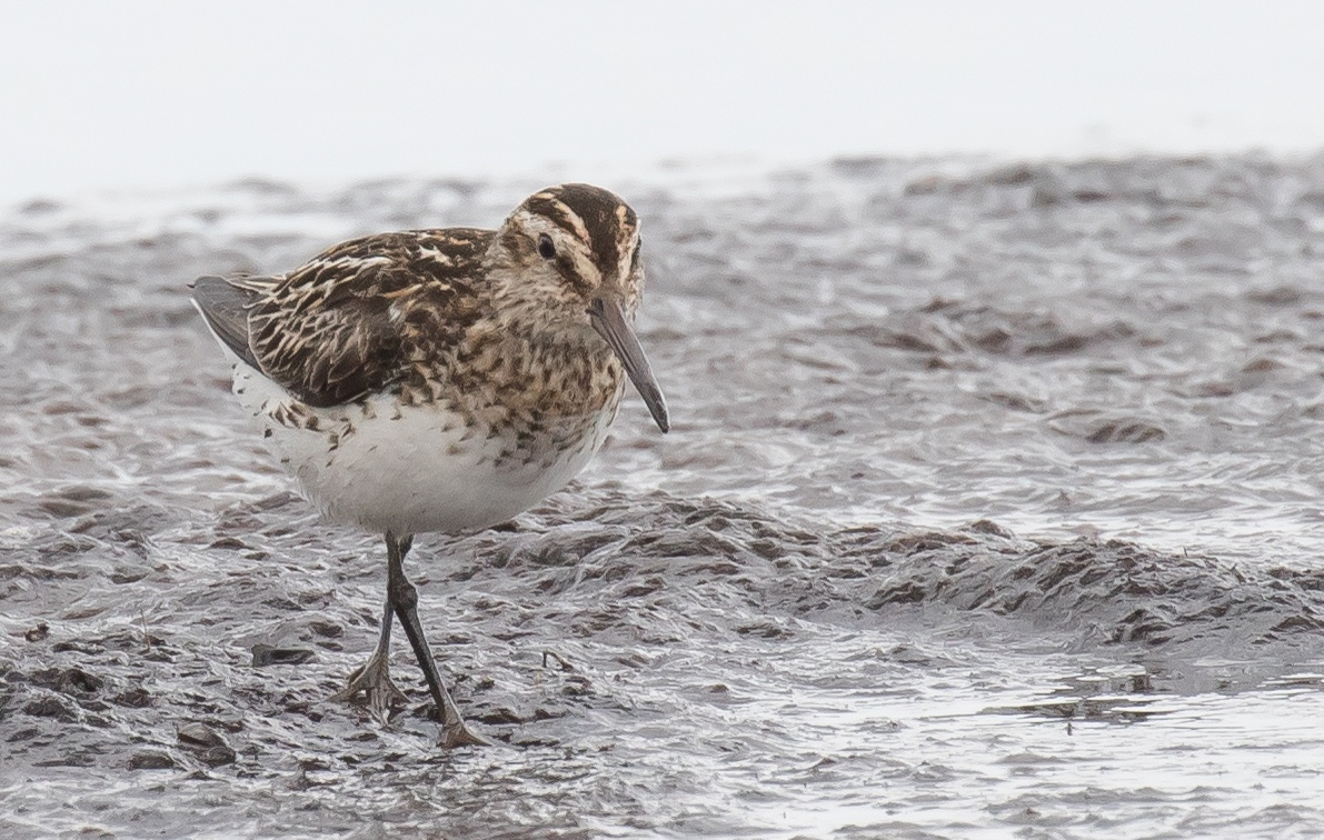 Broad-billed Sandpiper. by Kjell Södervall