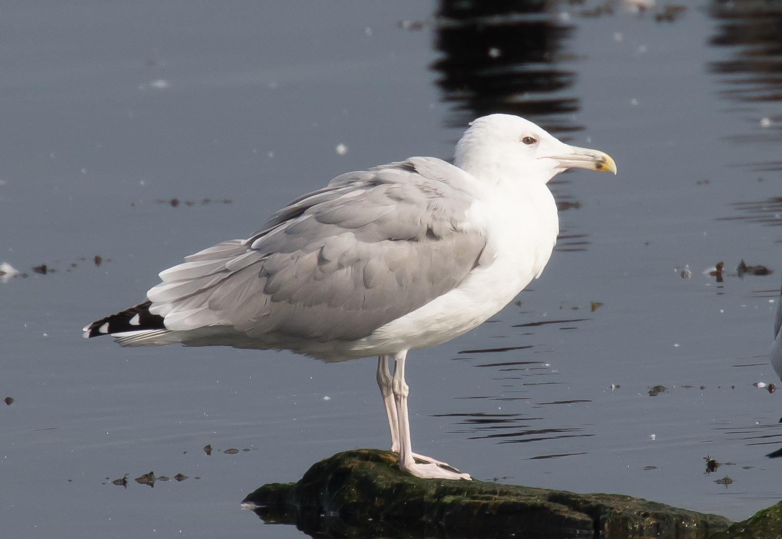 Caspian Gull. by Kjell Södervall