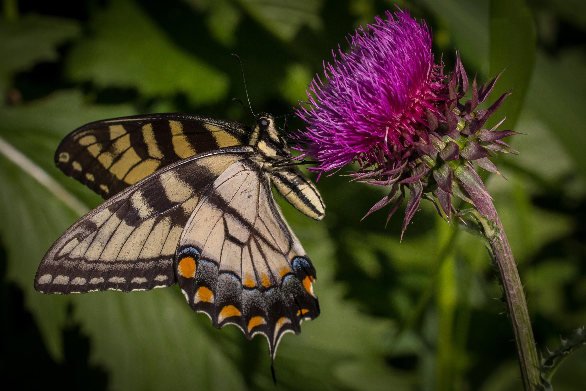 Swallowtail on Thistle by Otto Jay Lehrbach