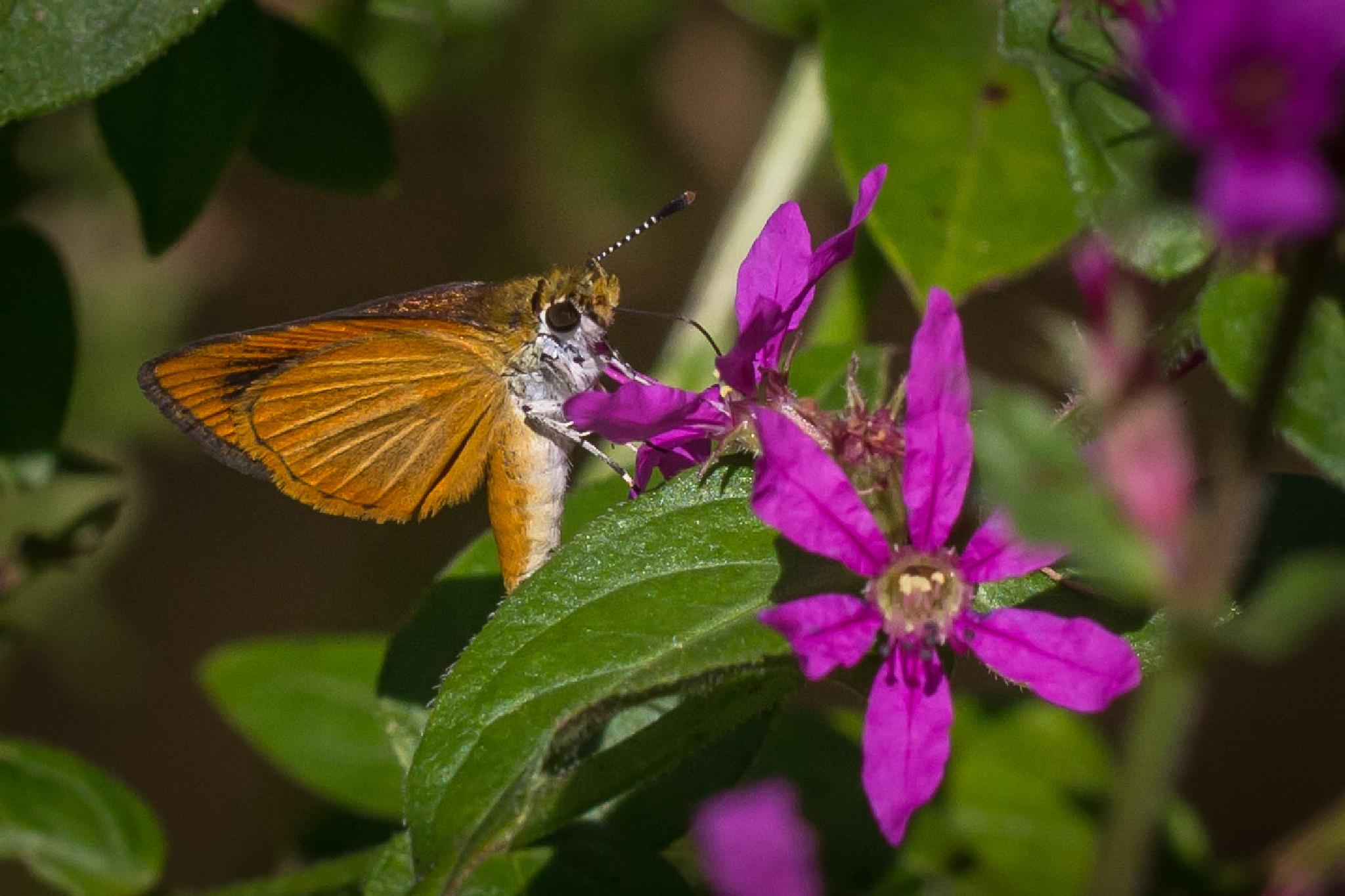 Tiny Butterfly on Loose Strife Flower by Otto Jay Lehrbach