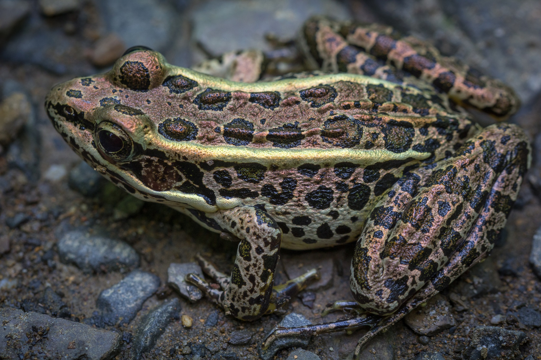 A Patient Pickerel Frog by Otto Jay Lehrbach