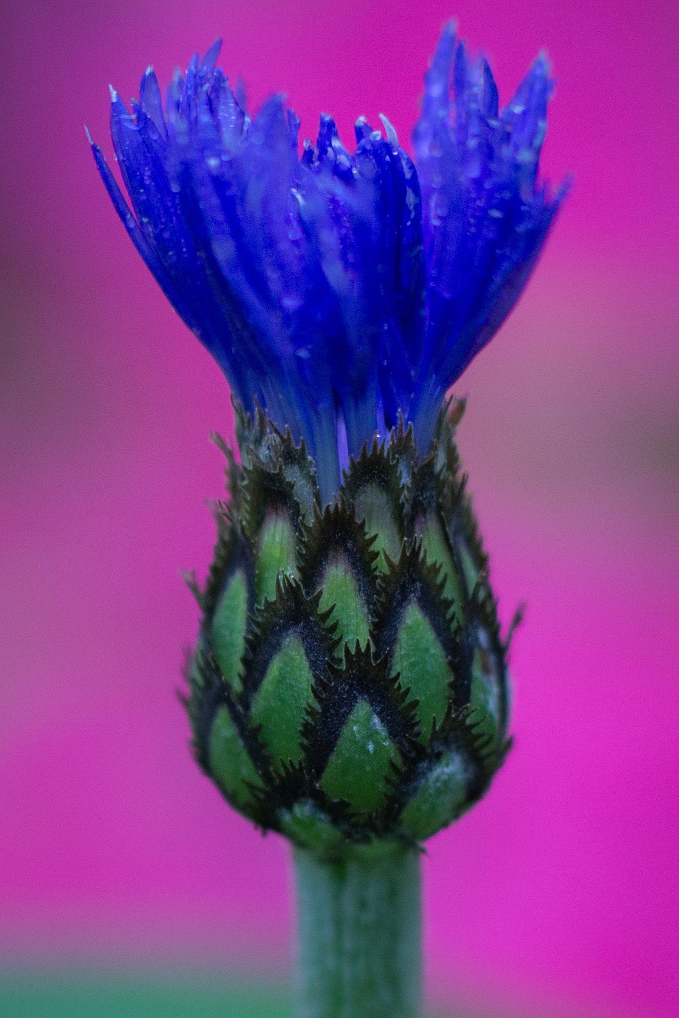 Cornflower Bud by Otto Jay Lehrbach