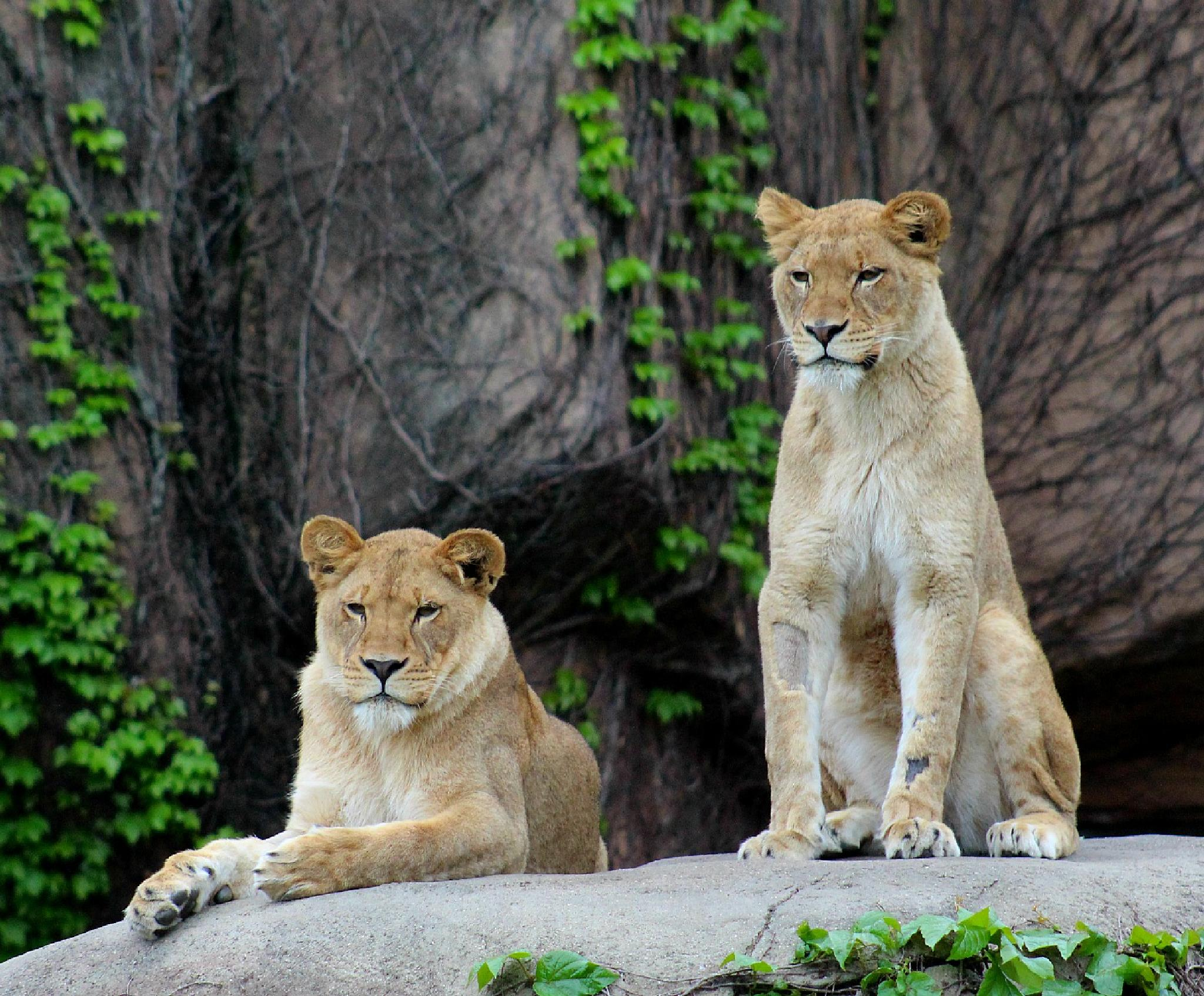 Lionesses by Hal Stedman