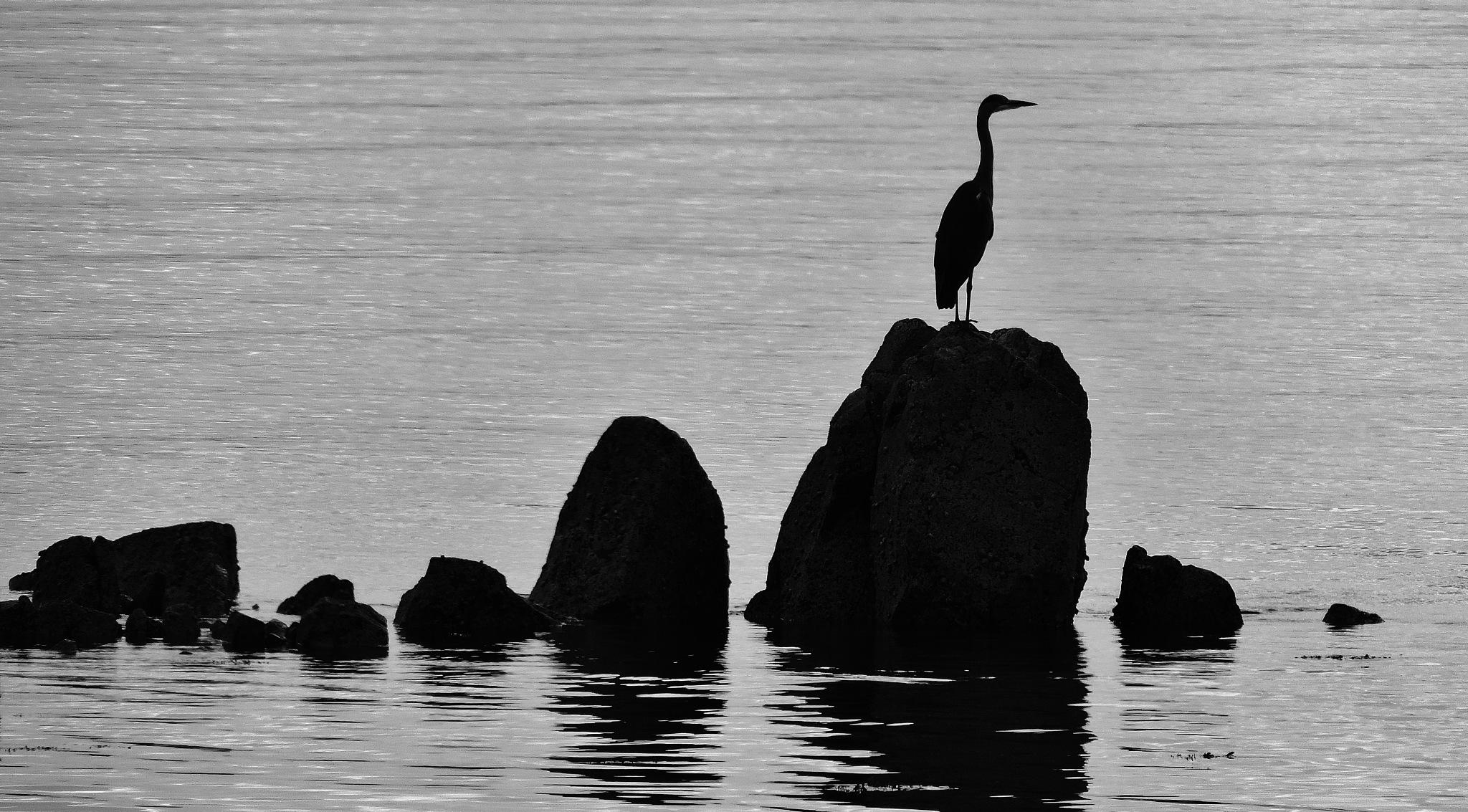 Holy Island heron by mountainpiguk