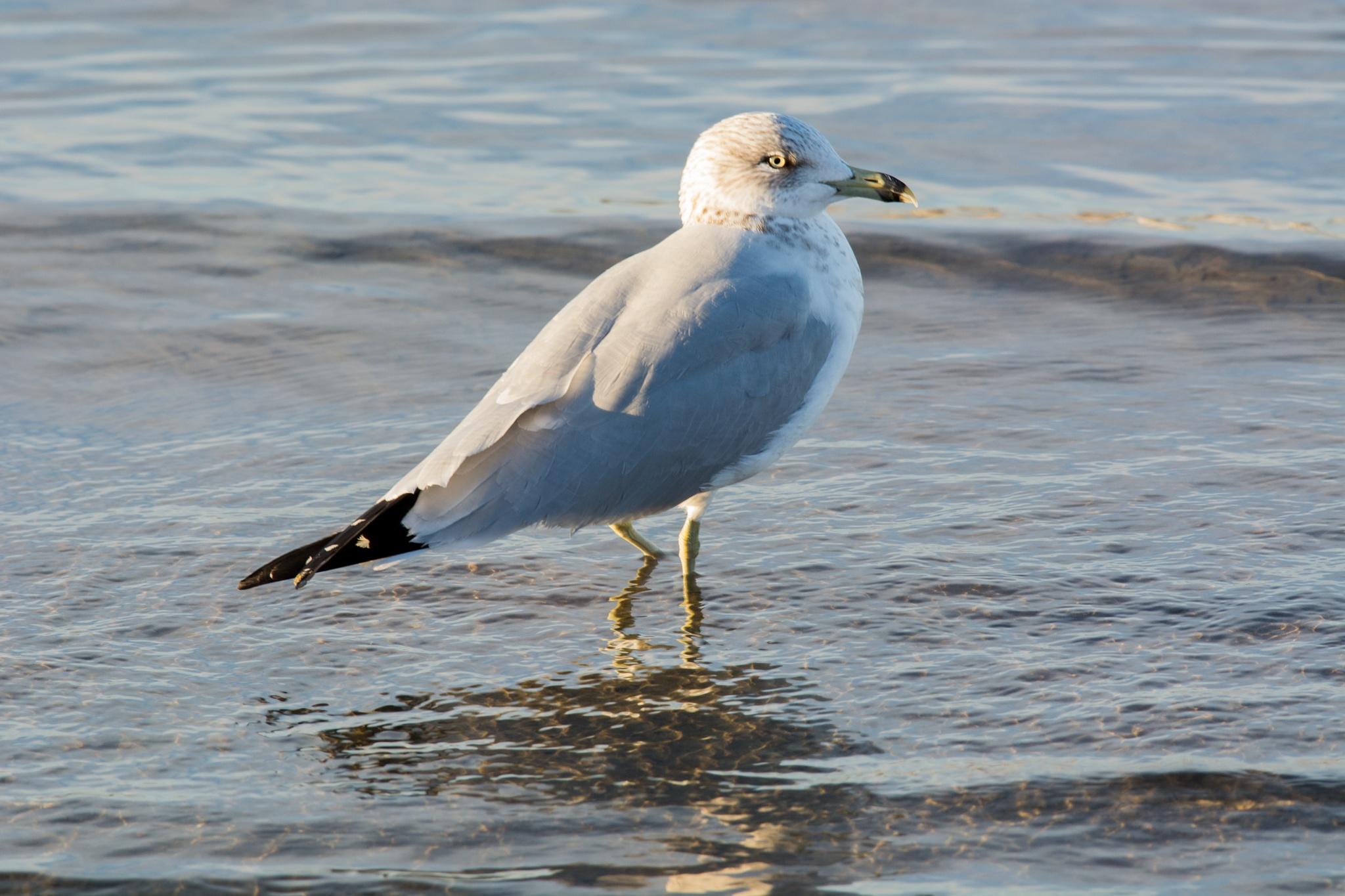 Ring-Billed Gull by Jeff Jones