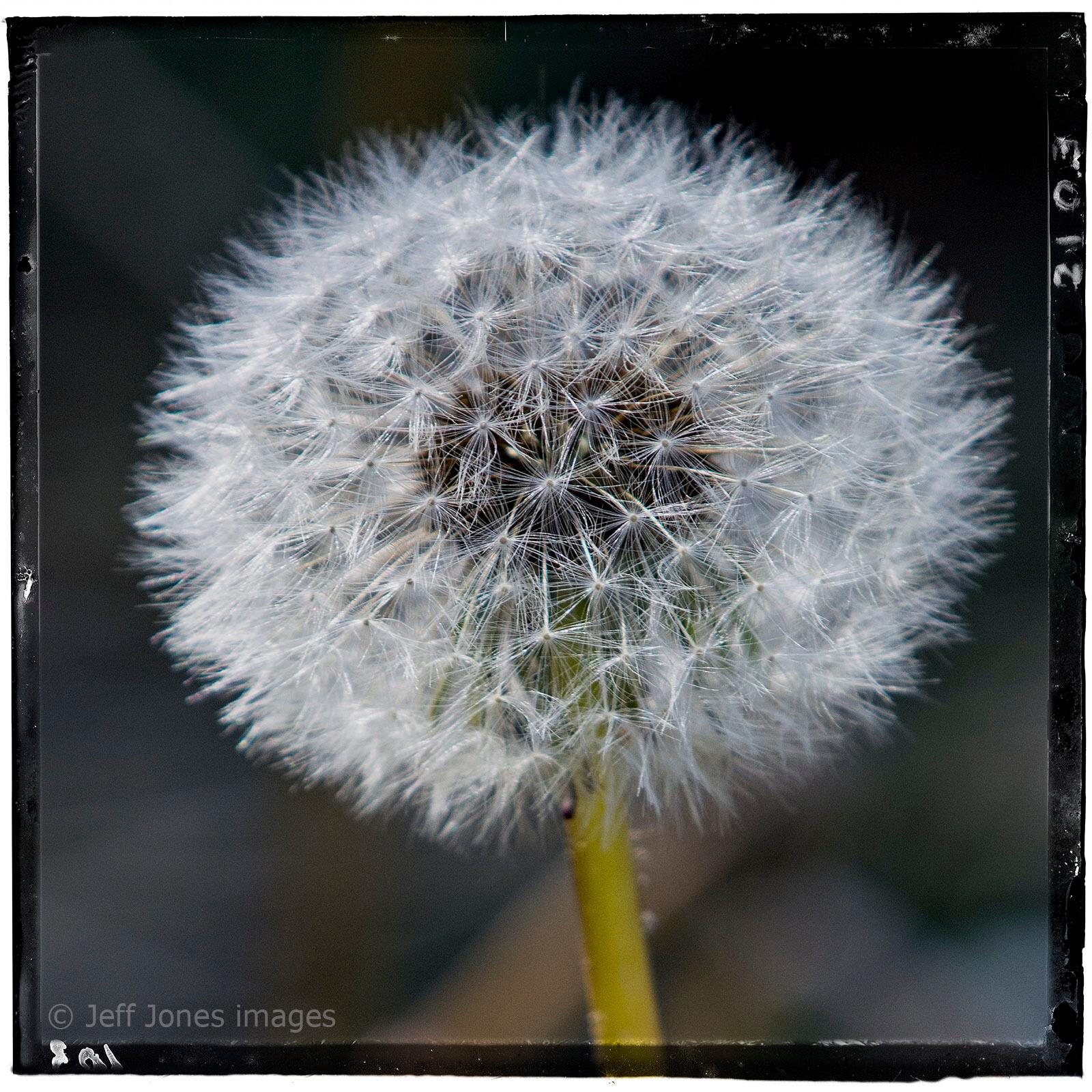 Dandelion Day by Jeff Jones