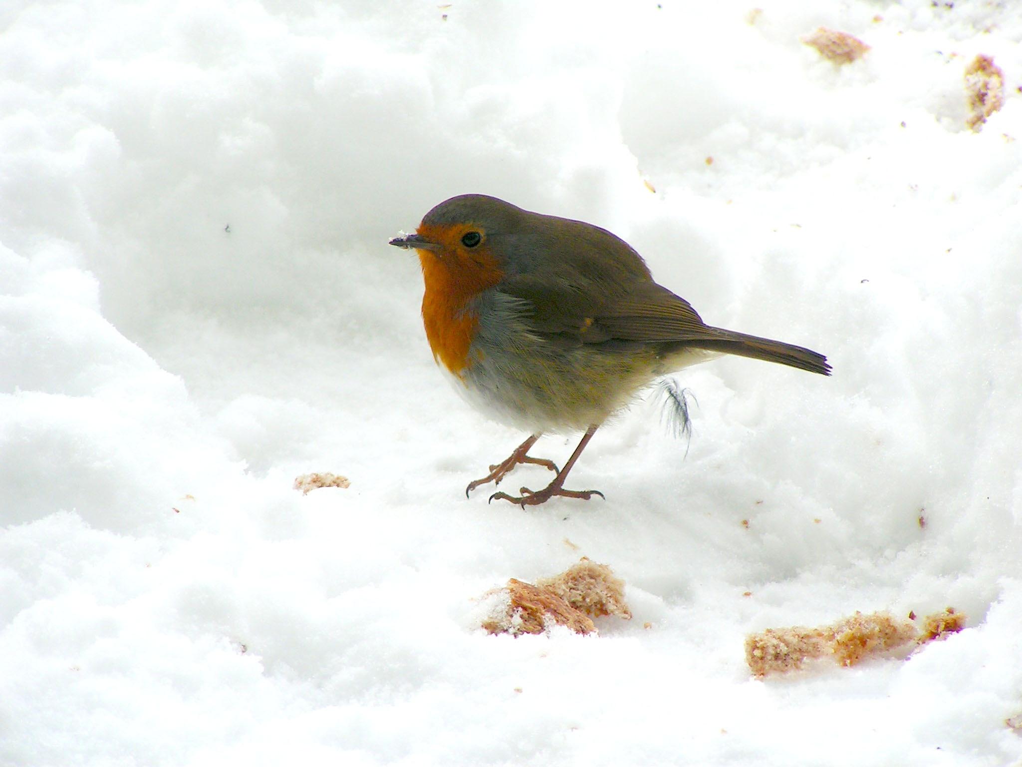 European Robin in the snow by Roelof de Haan