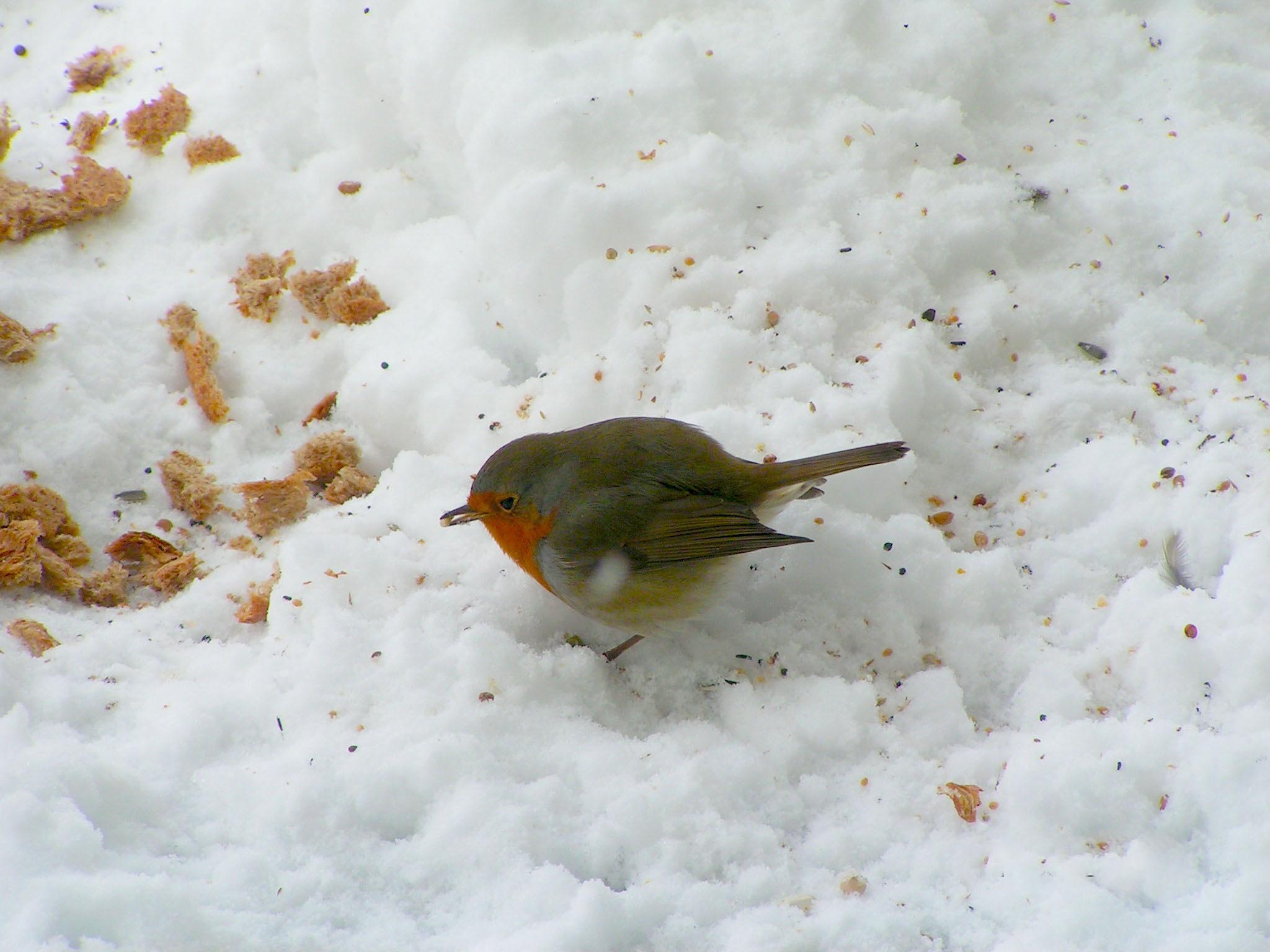 European Robin eating seeds by Roelof de Haan
