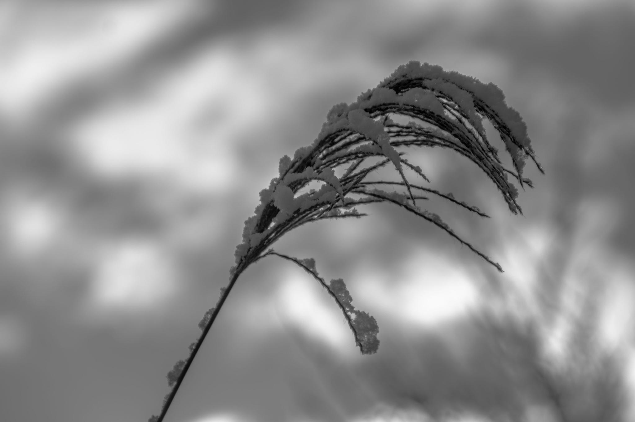 rietpluim met sneeuw by Roelof de Haan