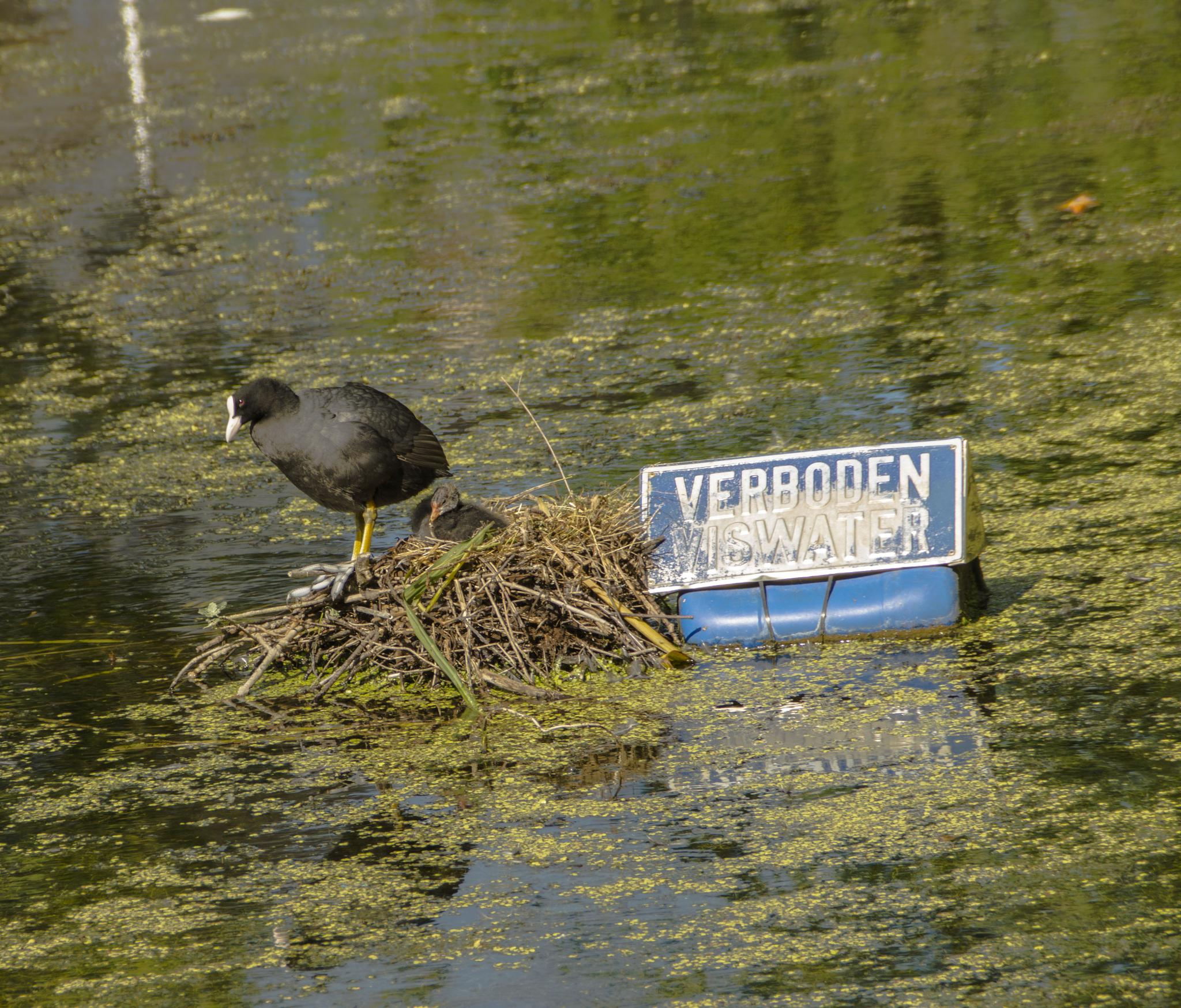 Coot with young in nest by Roelof de Haan