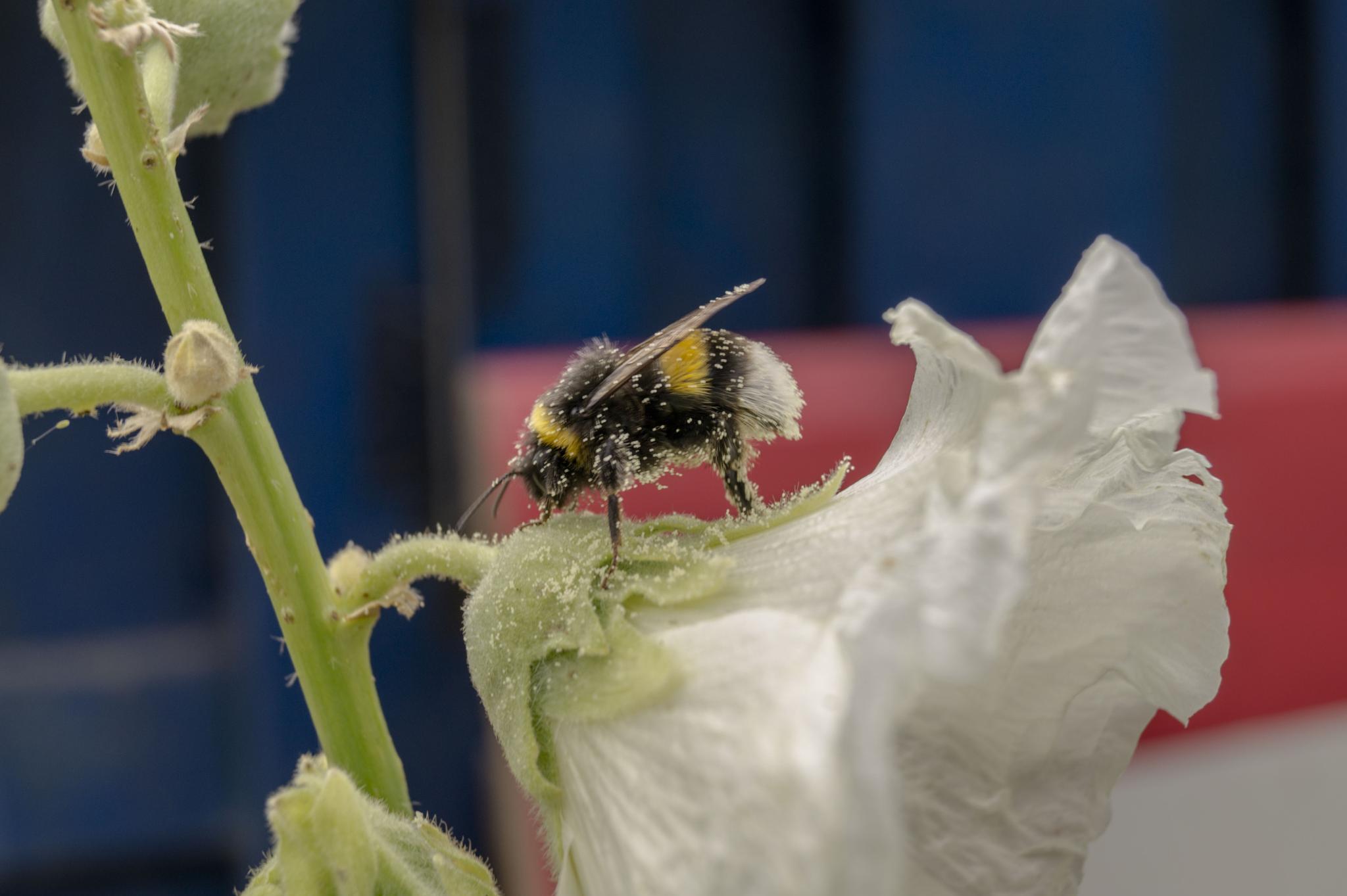 Bumblebee on Alcea rosea with pollen by Roelof de Haan