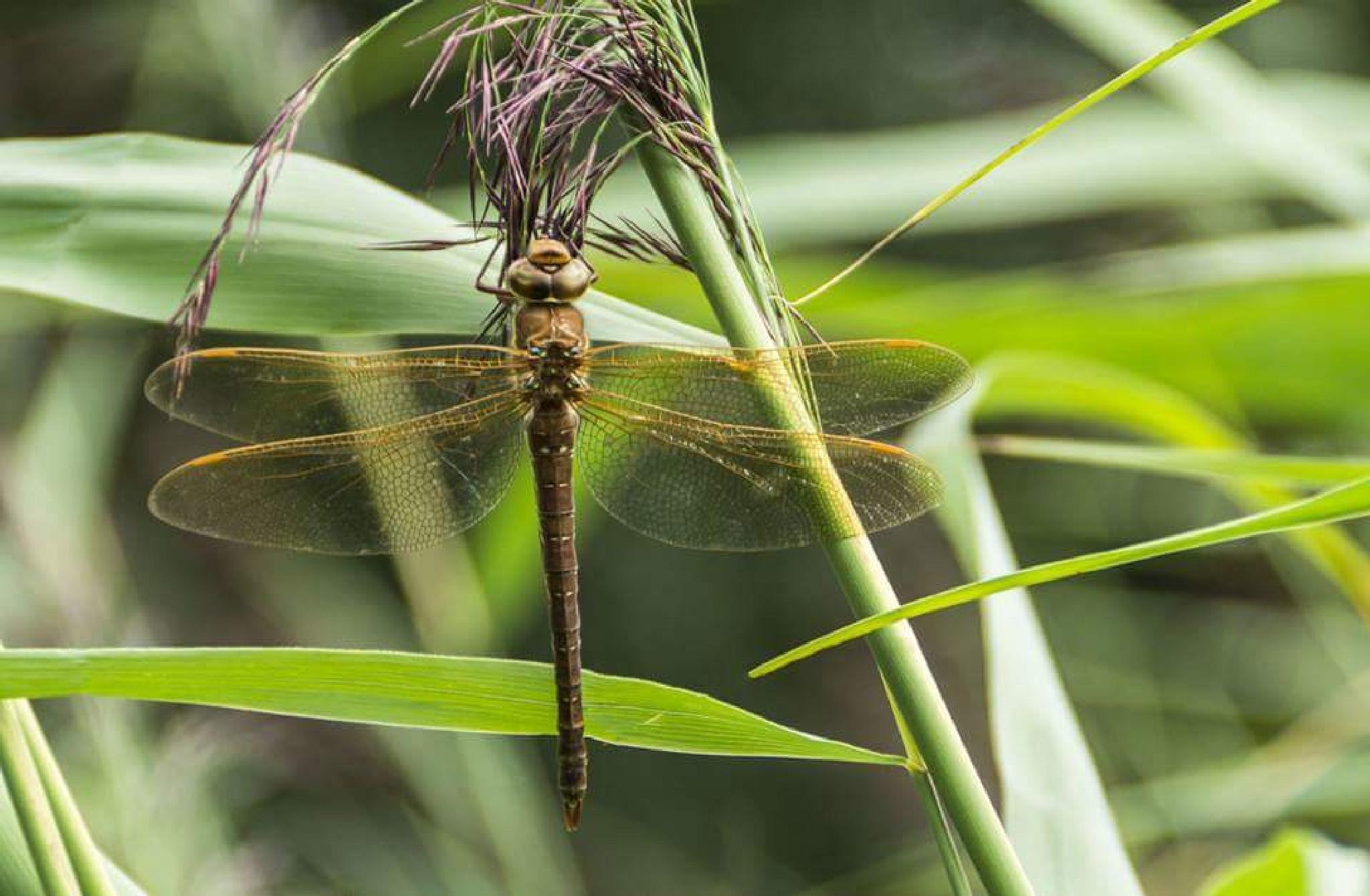 Dragonfly by Roelof de Haan