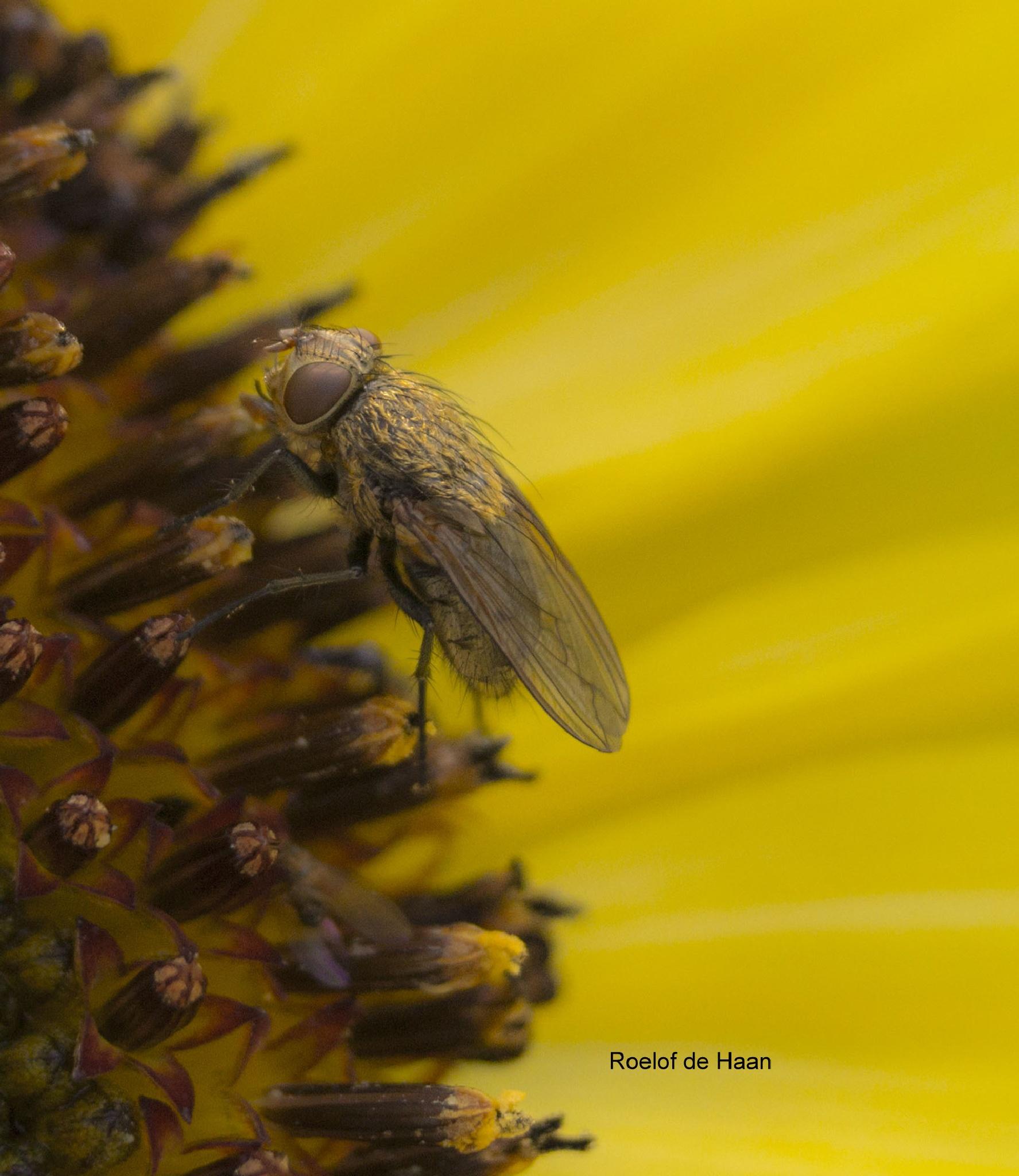 Fly sitting on sunflower by Roelof de Haan