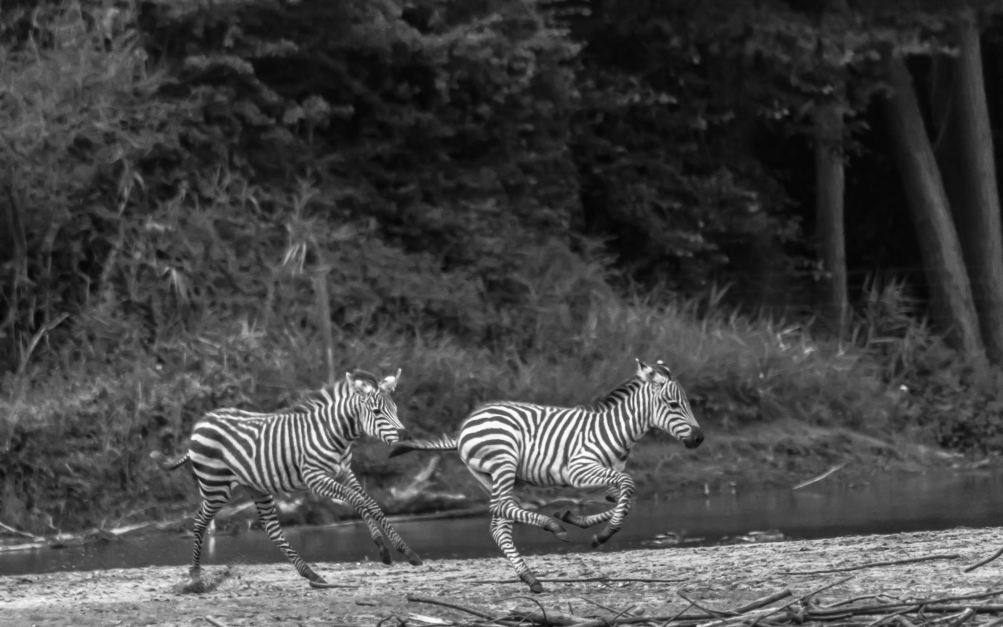 Running in Burgers' Zoo safari by Roelof de Haan