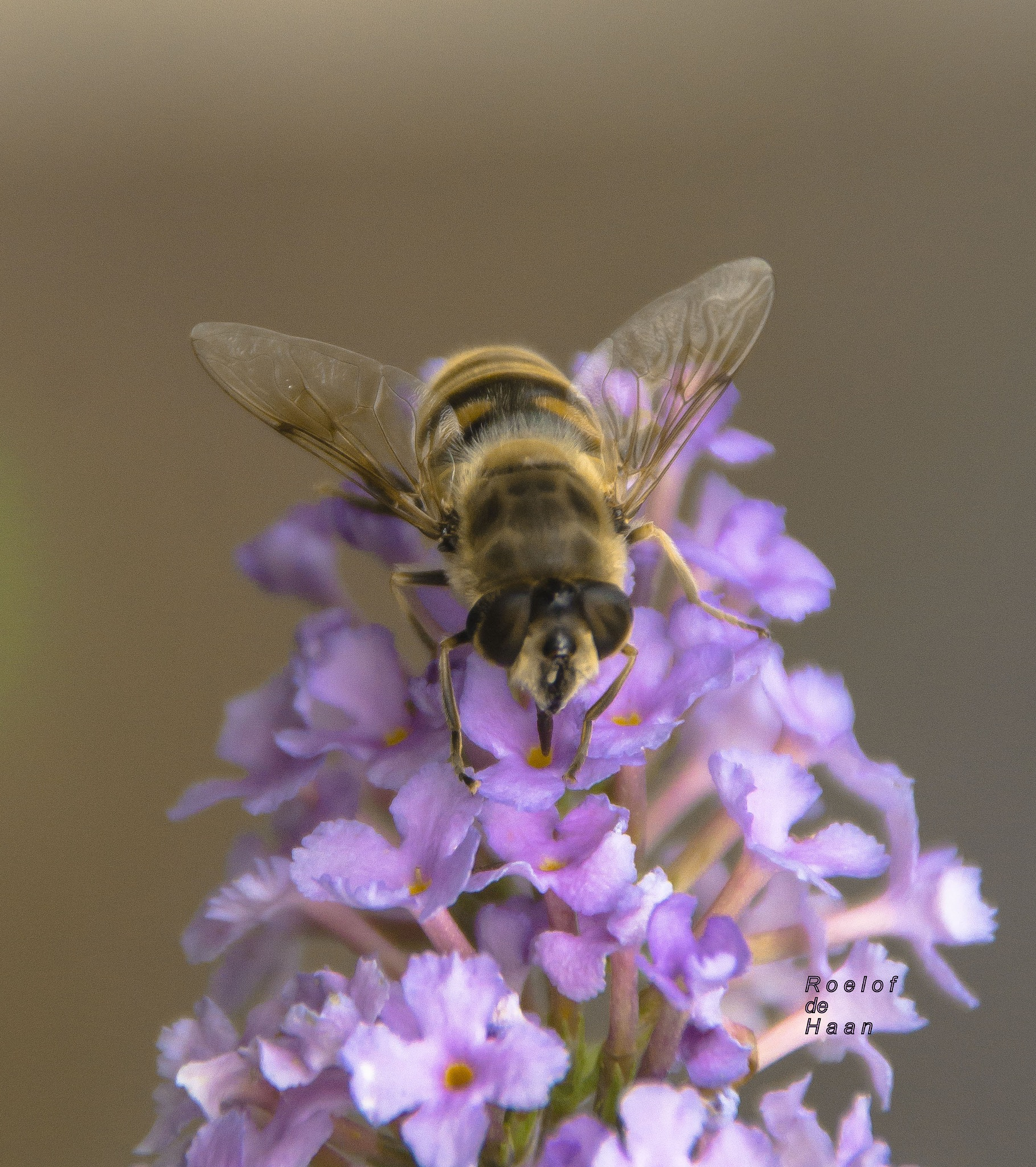 Hoverfly searching for nectar by Roelof de Haan