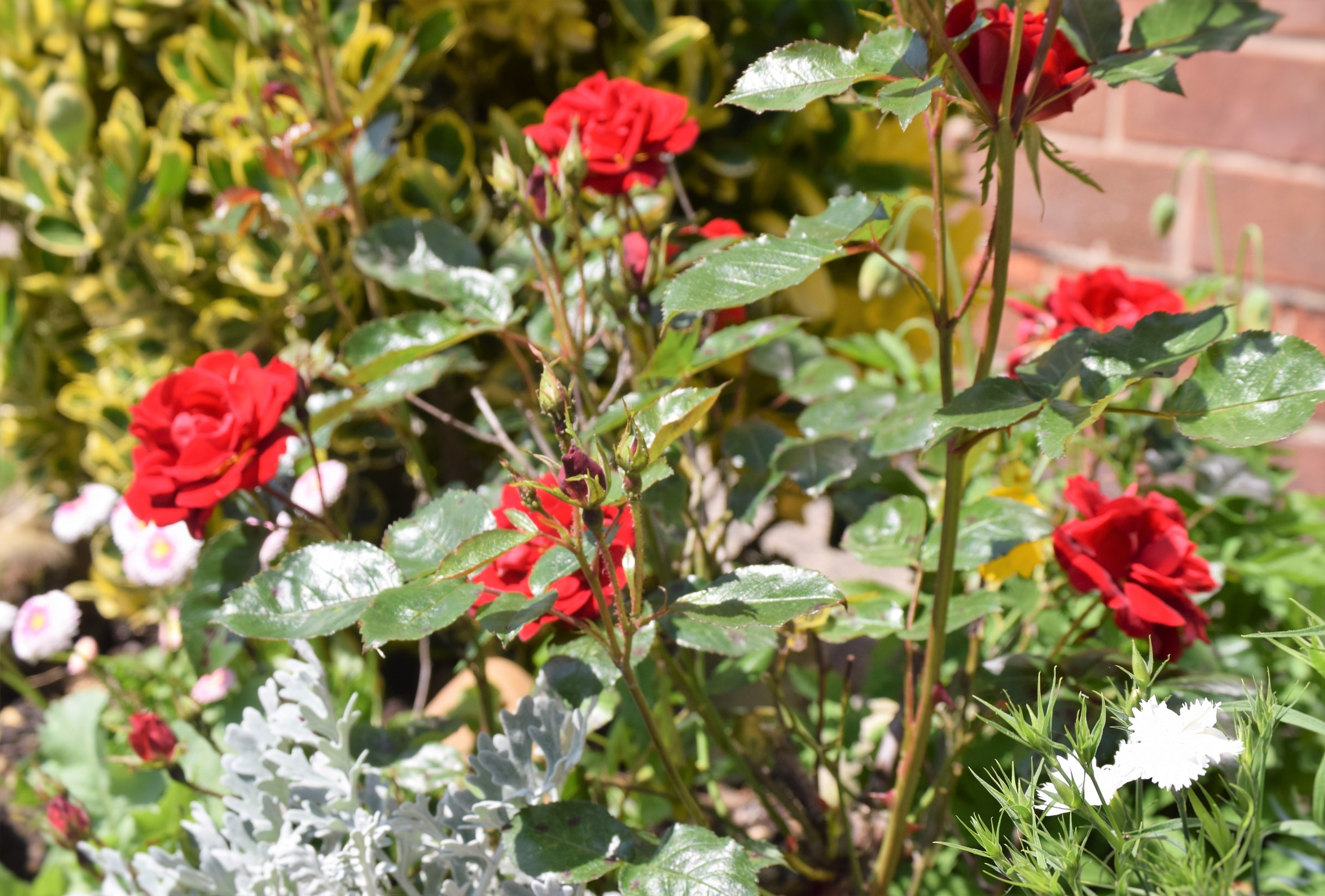 Red Roses  by bryan dellbridge