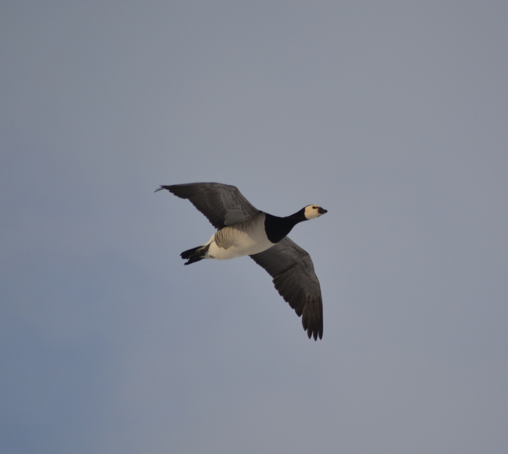 Canadian Goose by Jo Ison