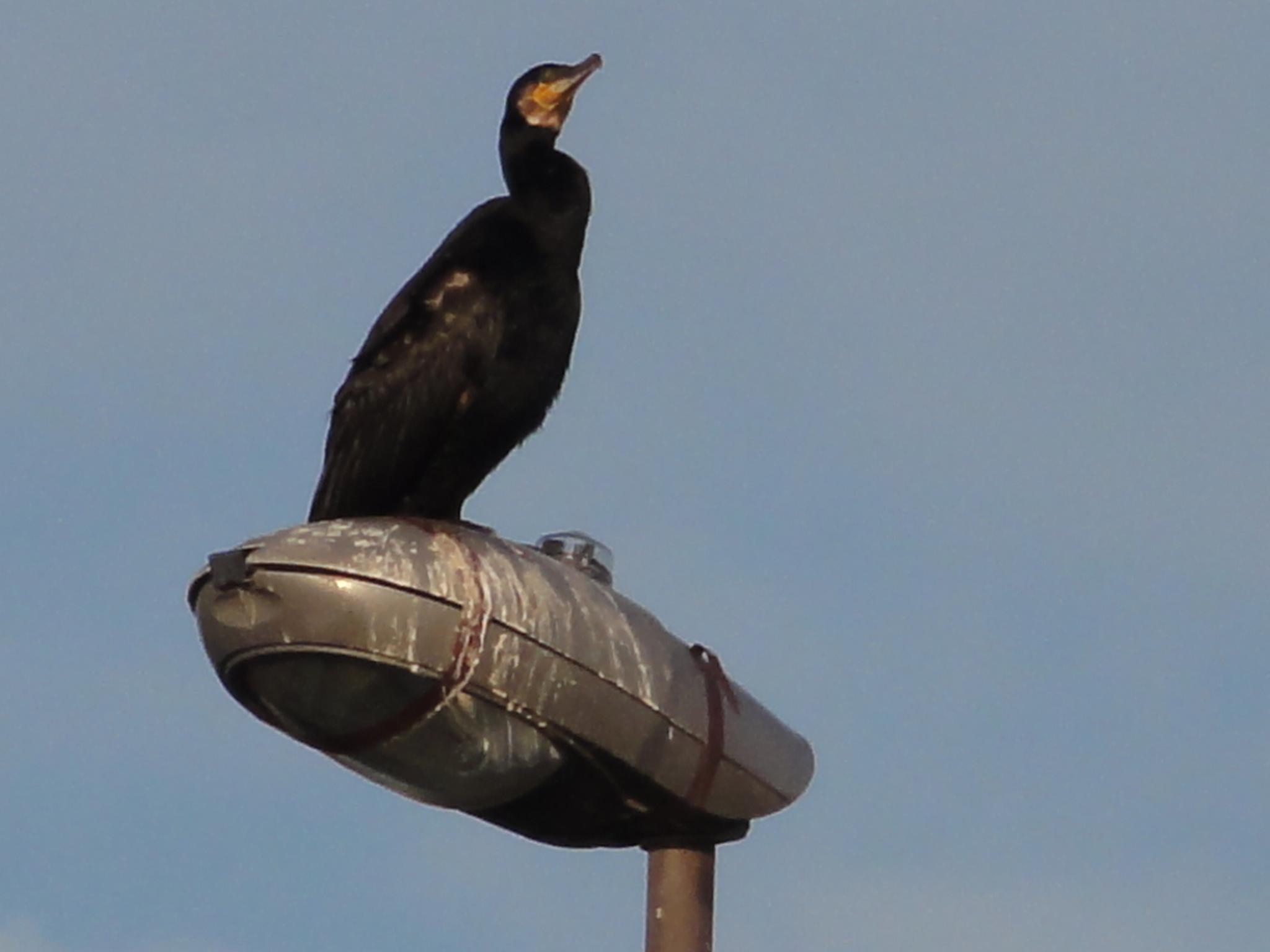 BIRD ON A LAMP POST by mikewoodland21