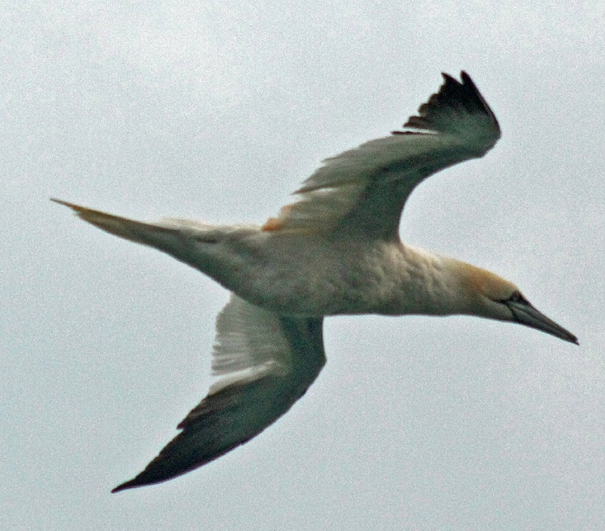 GANNET by mikewoodland21