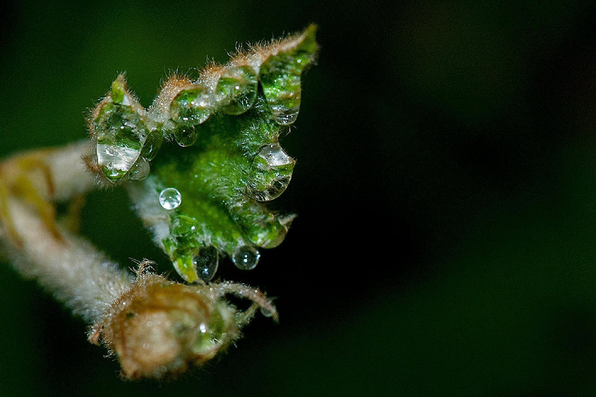 Dew drops by Girish Mayachari