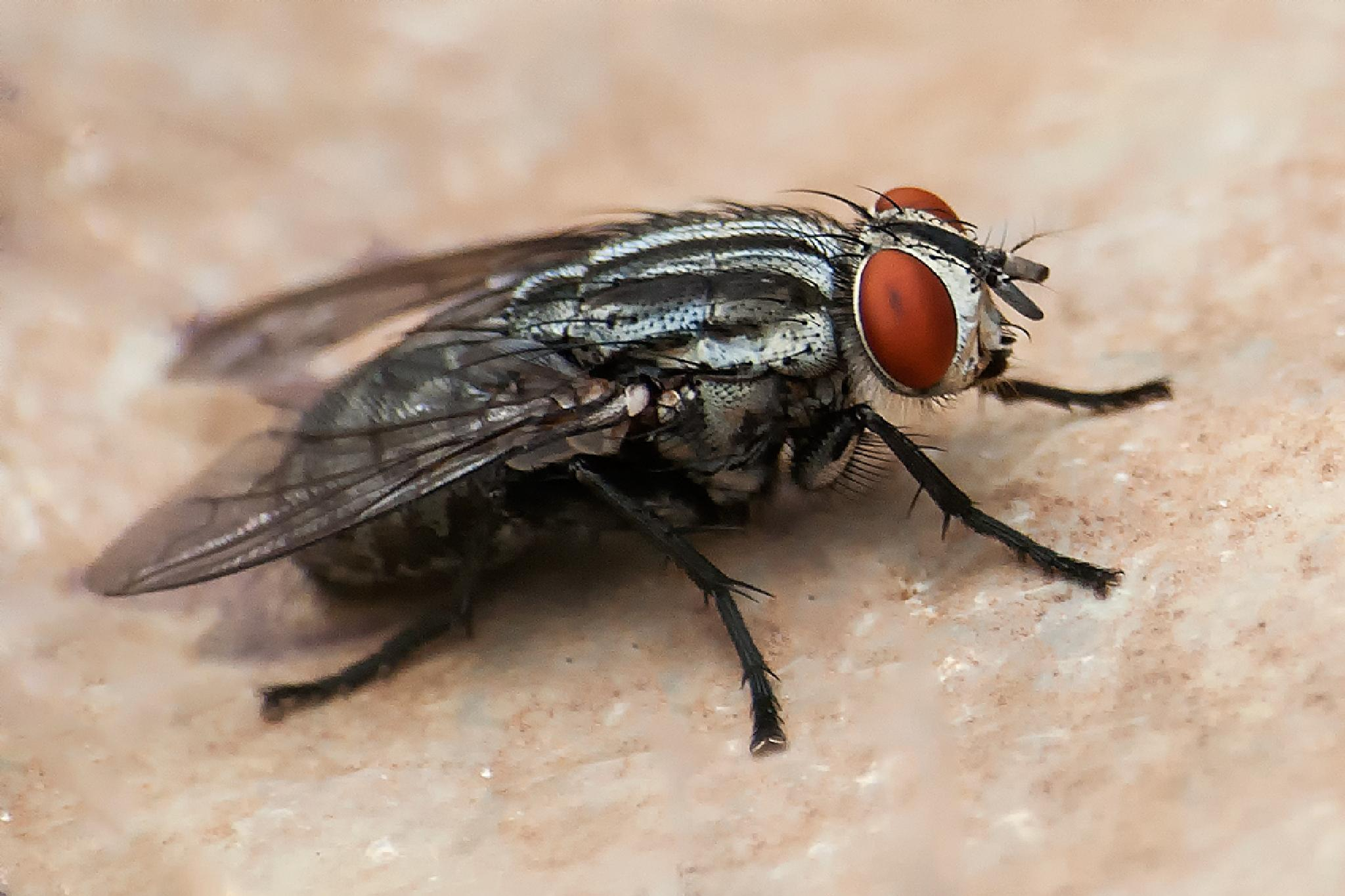 Photo in Macro #macro #insect #fly #nature
