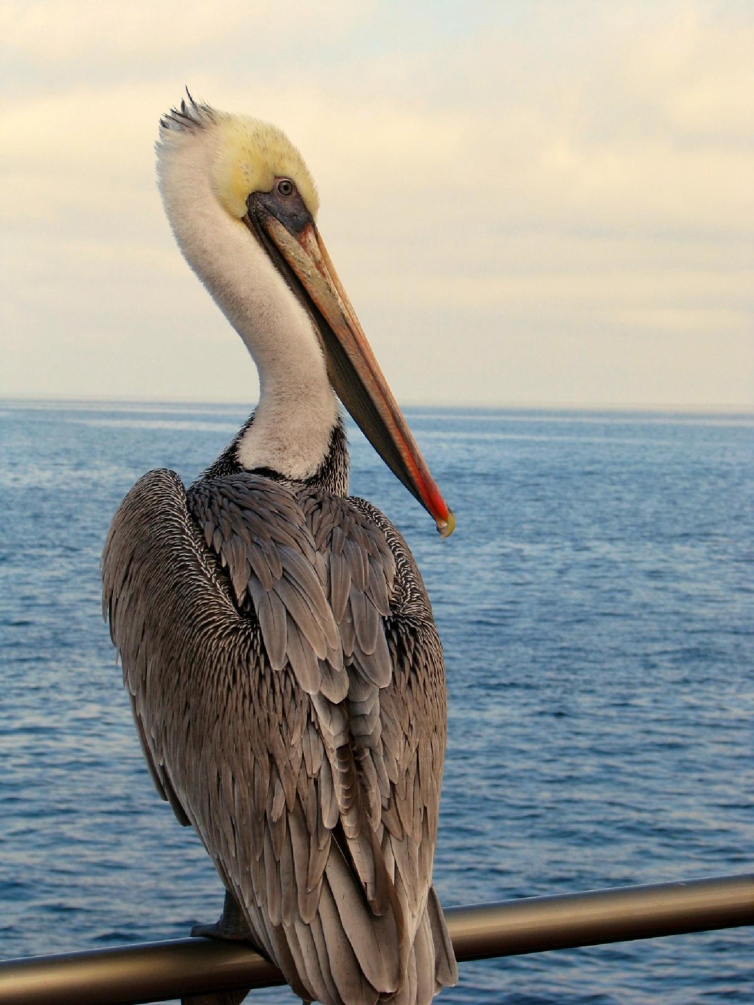 Pelican Profile by Lisa Rimlinger