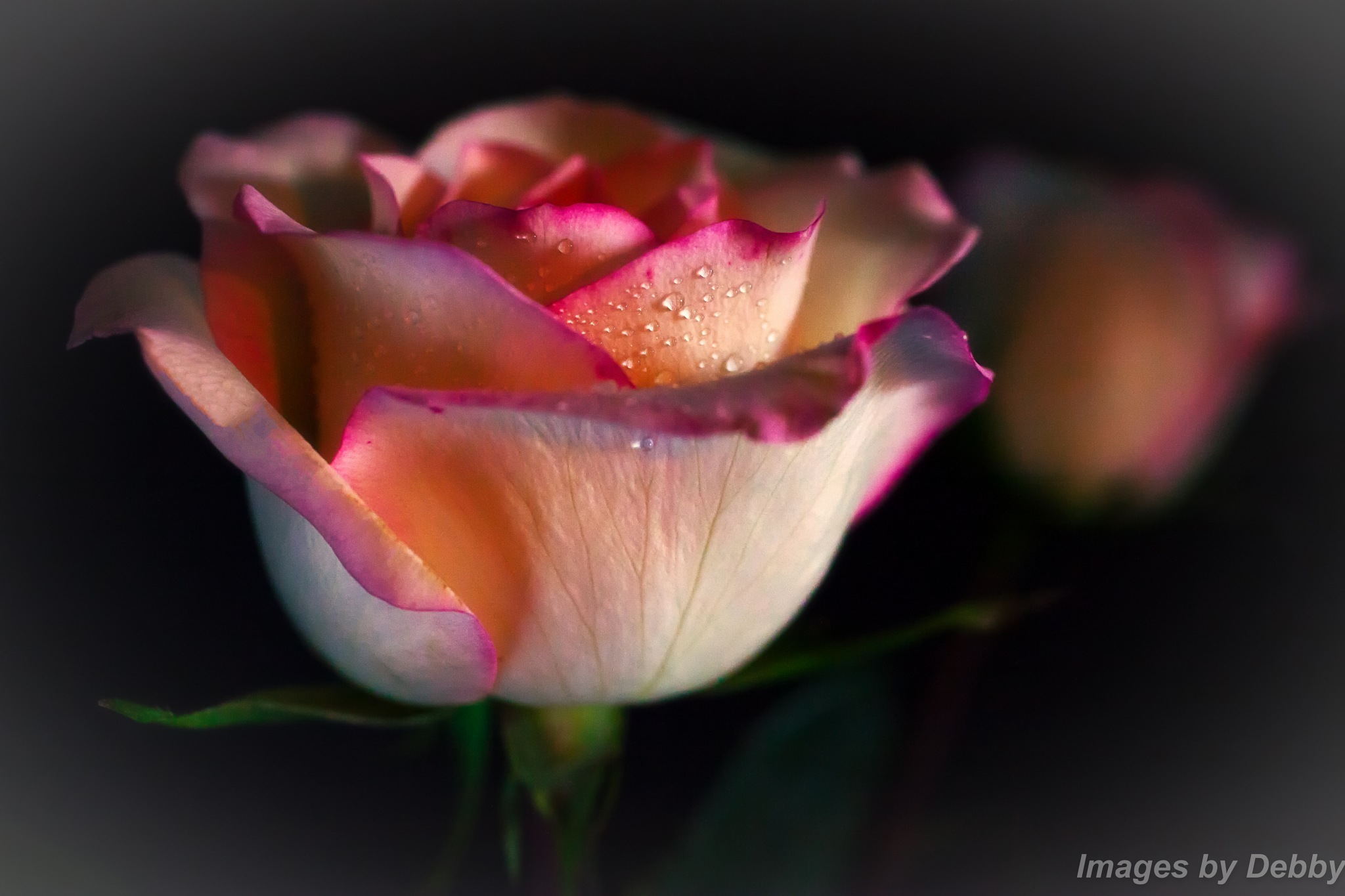 Mirror Image Rose by debbyfaz