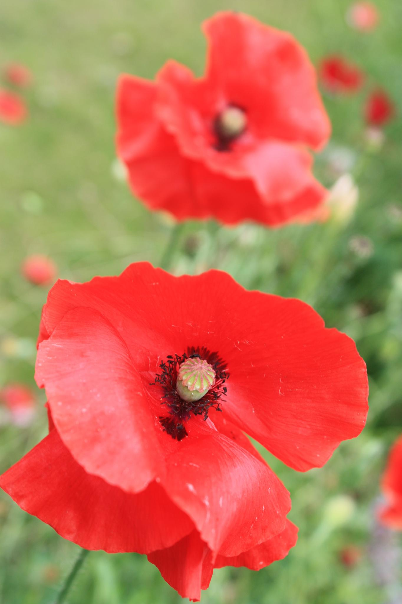 poppy pair by stephencdickson