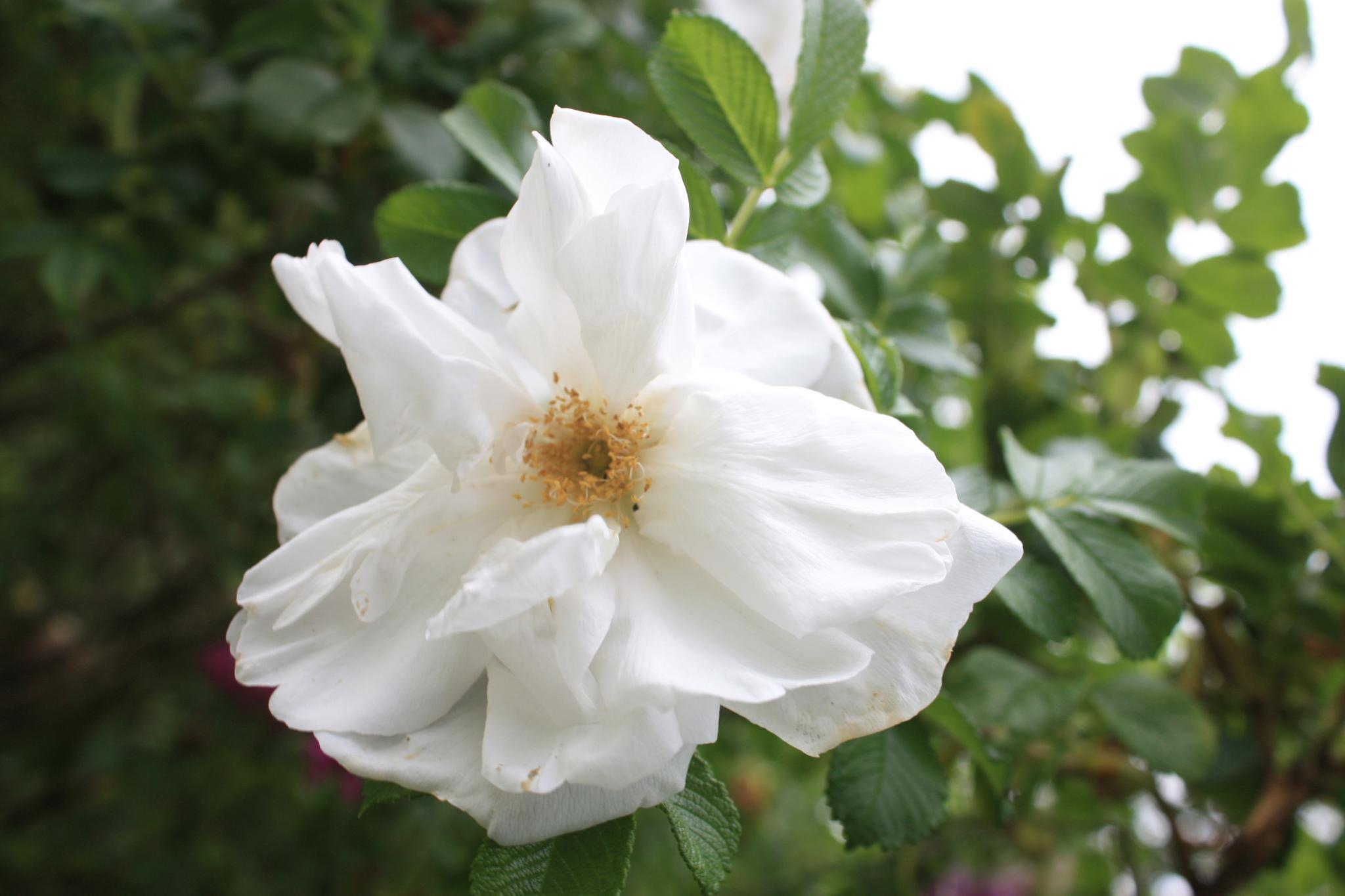 wild rose by stephencdickson