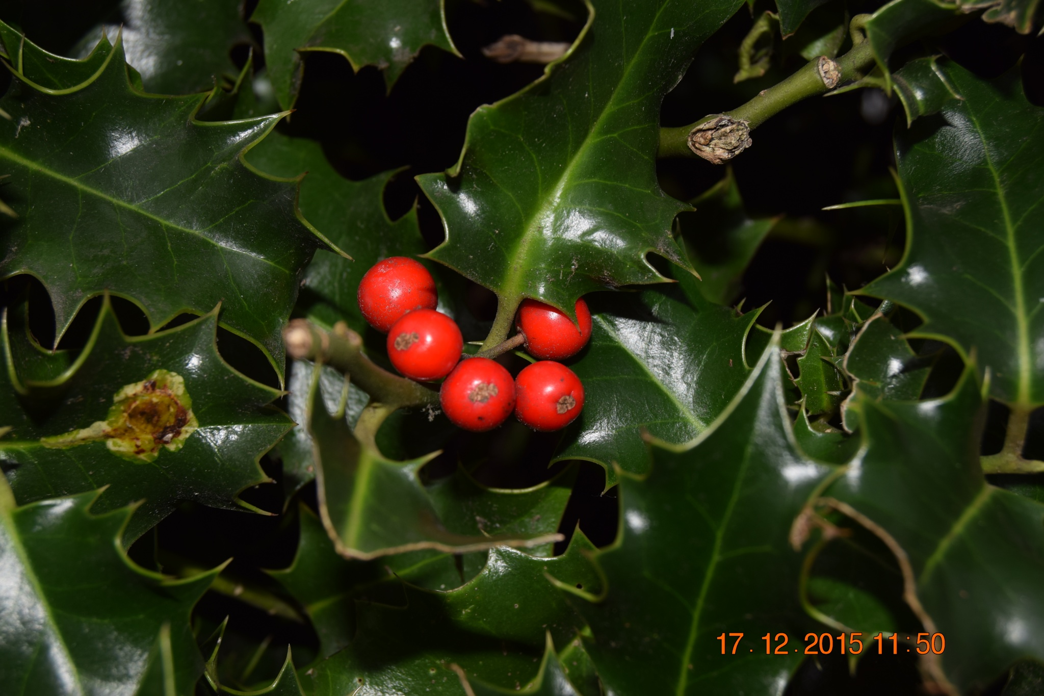 The Christmas Holly by towen78
