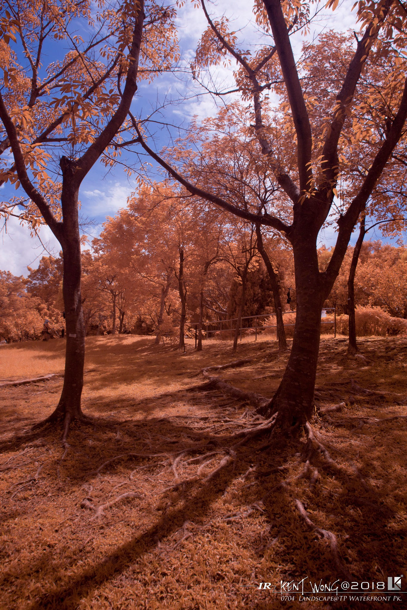 The Trees  (Infrared) by ken wong