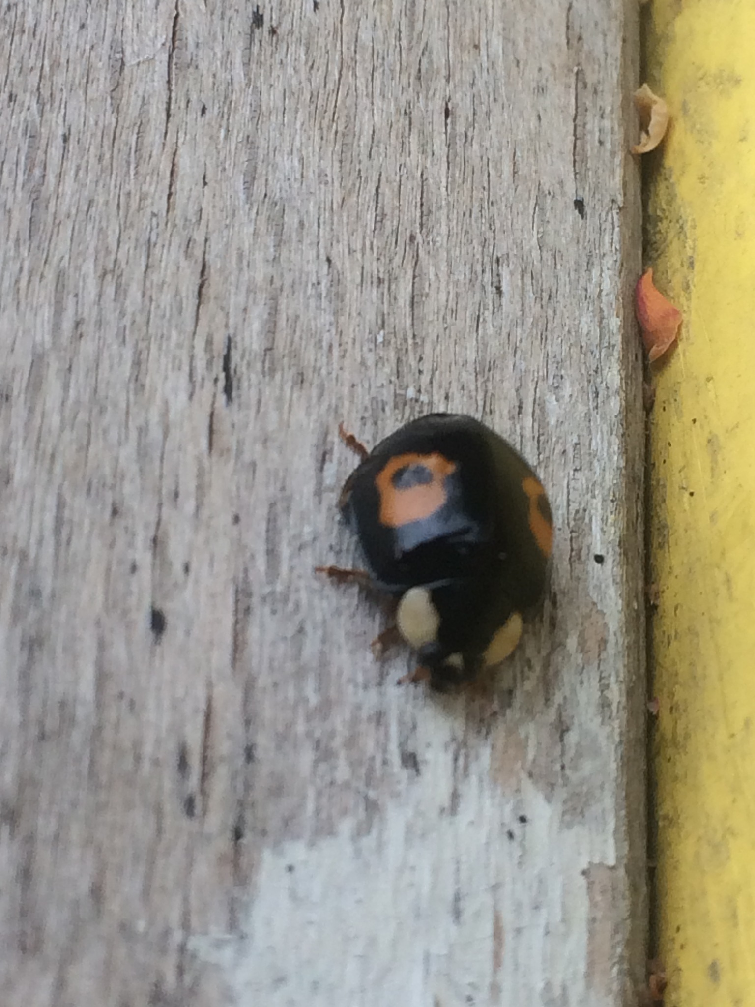 Unusual Ladybird  by HelenaM